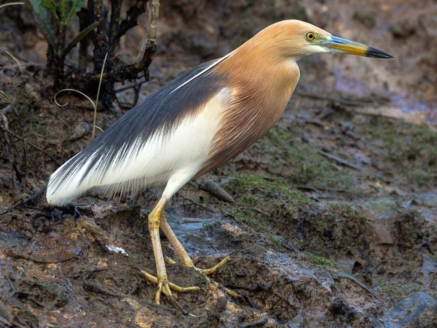 Javan Pond-Heron - Francis Yap