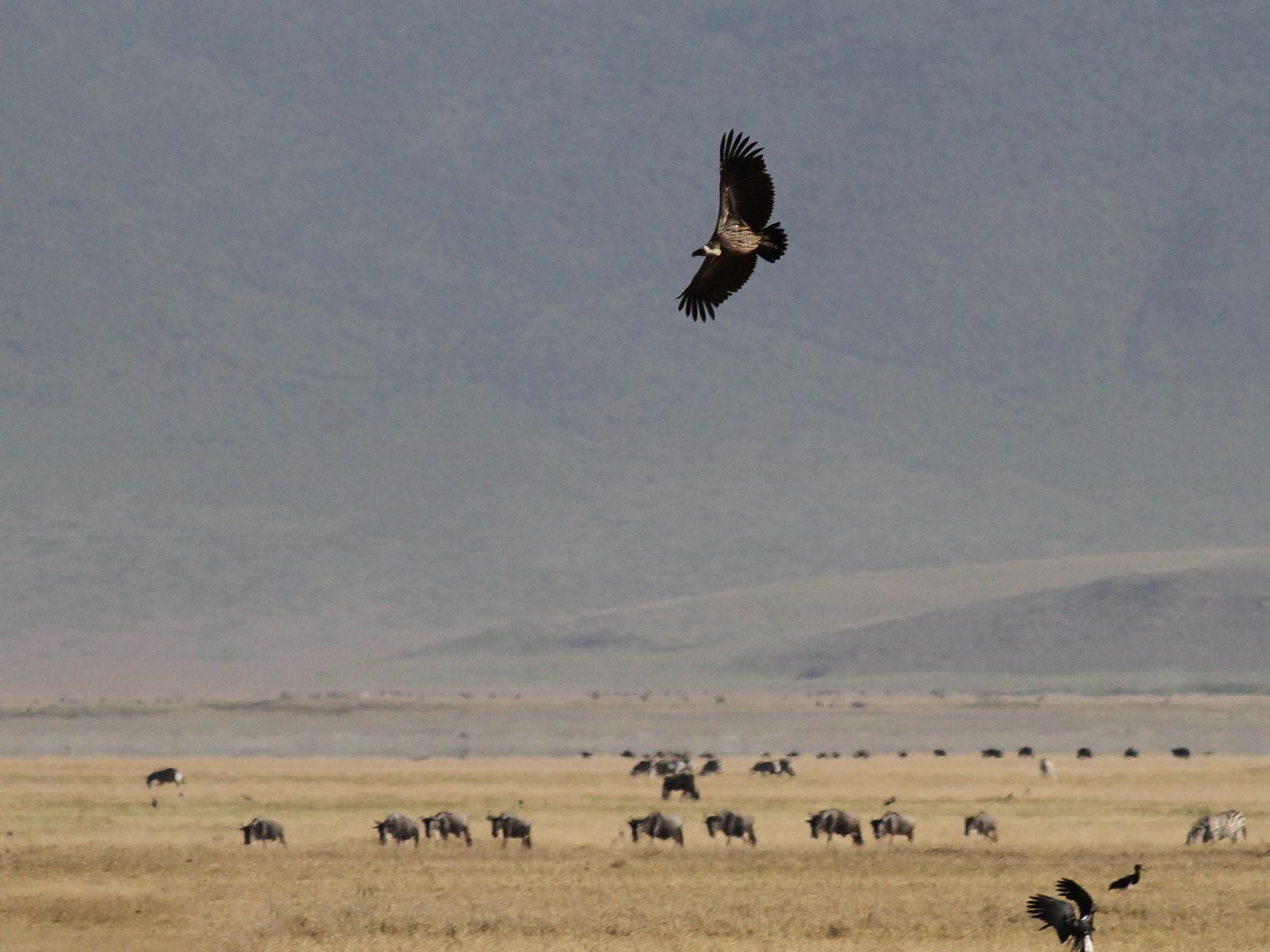 White-backed Vulture - Meg Barron