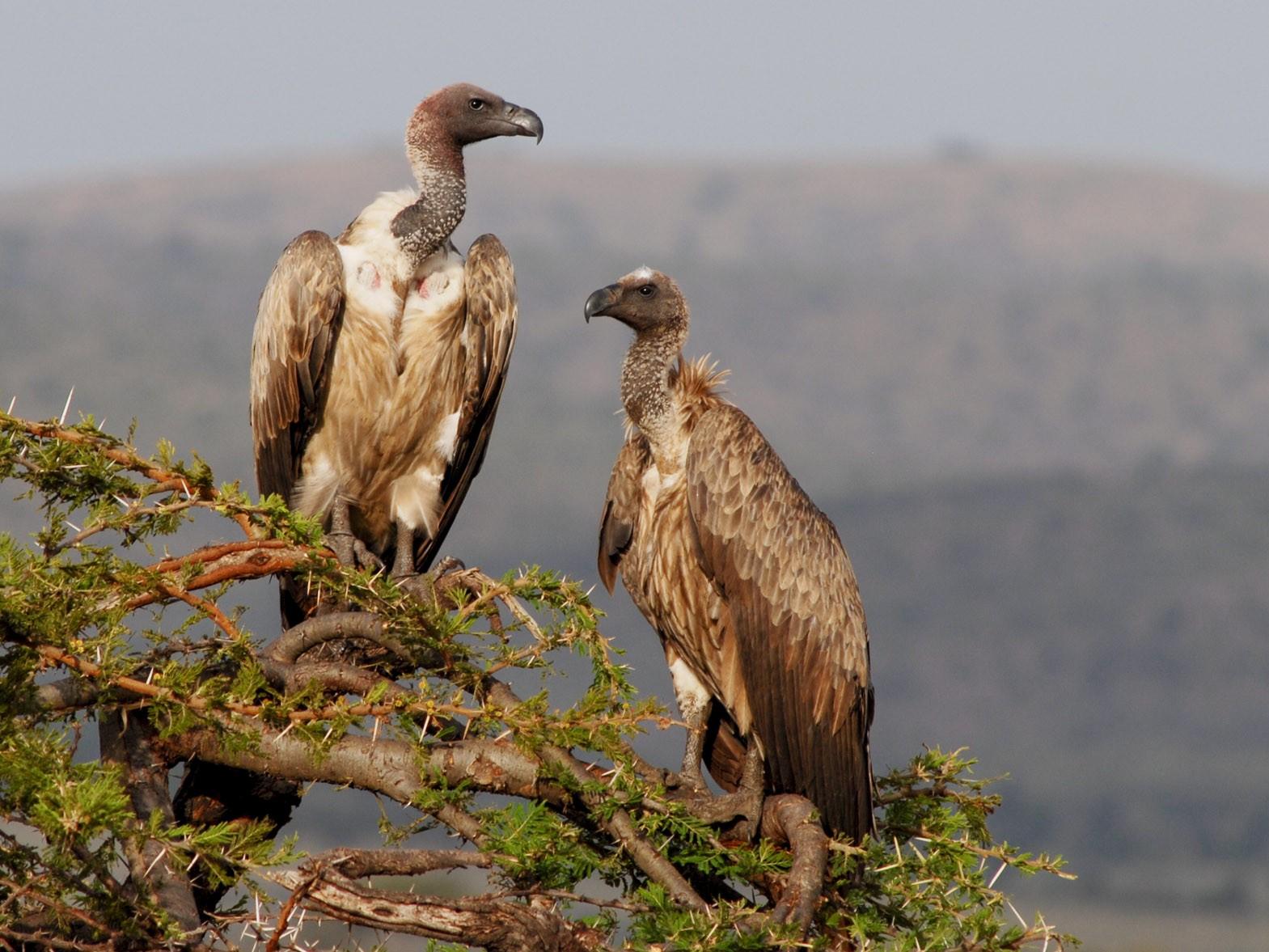White-backed Vulture - Eric van Poppel