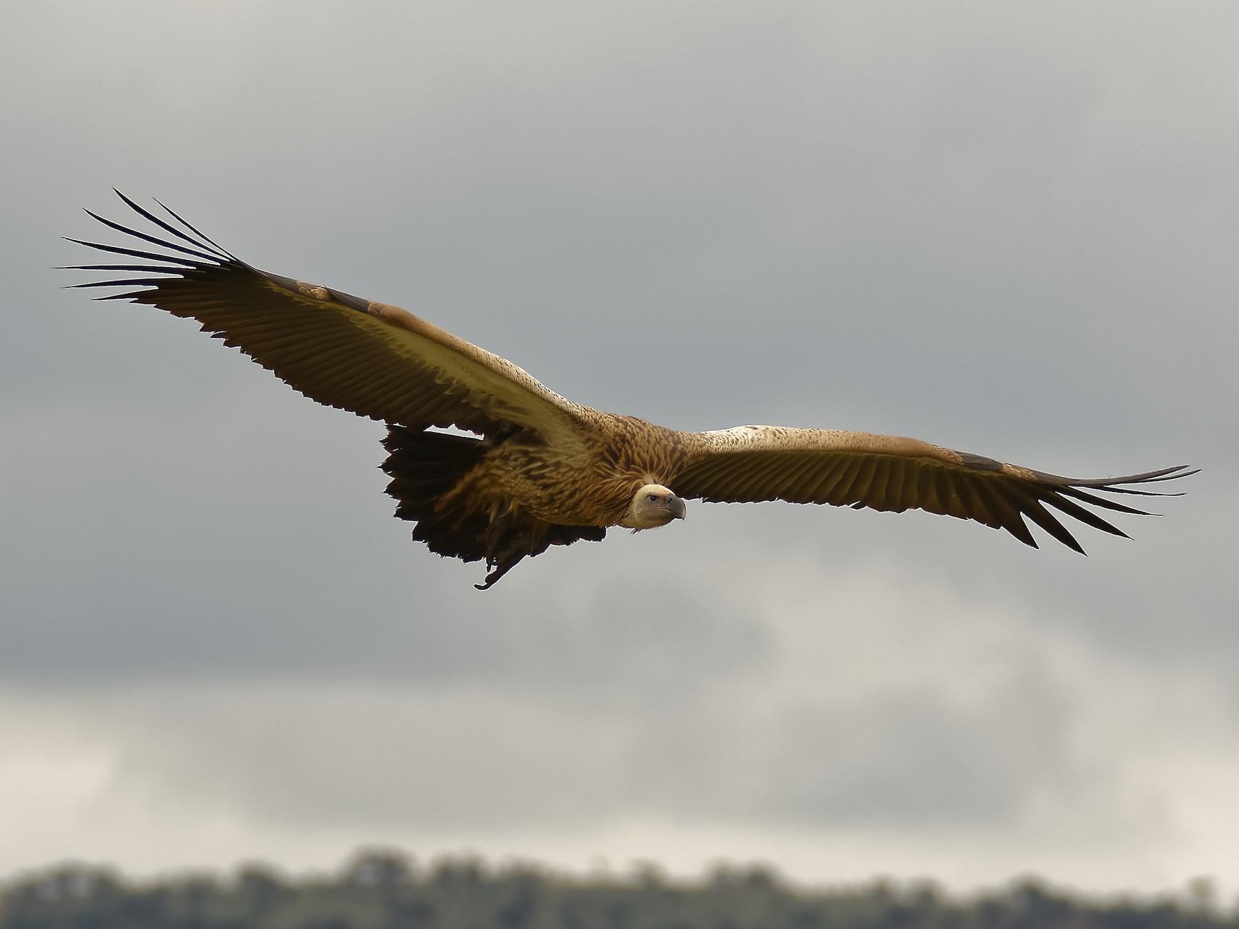White-backed Vulture - Ruben Gaasenbeek