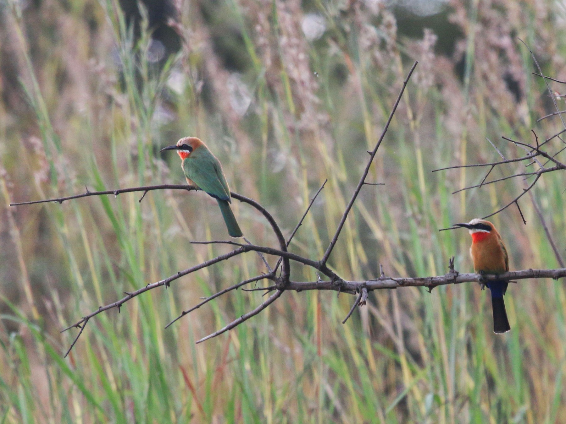 White-fronted Bee-eater - Allison Miller