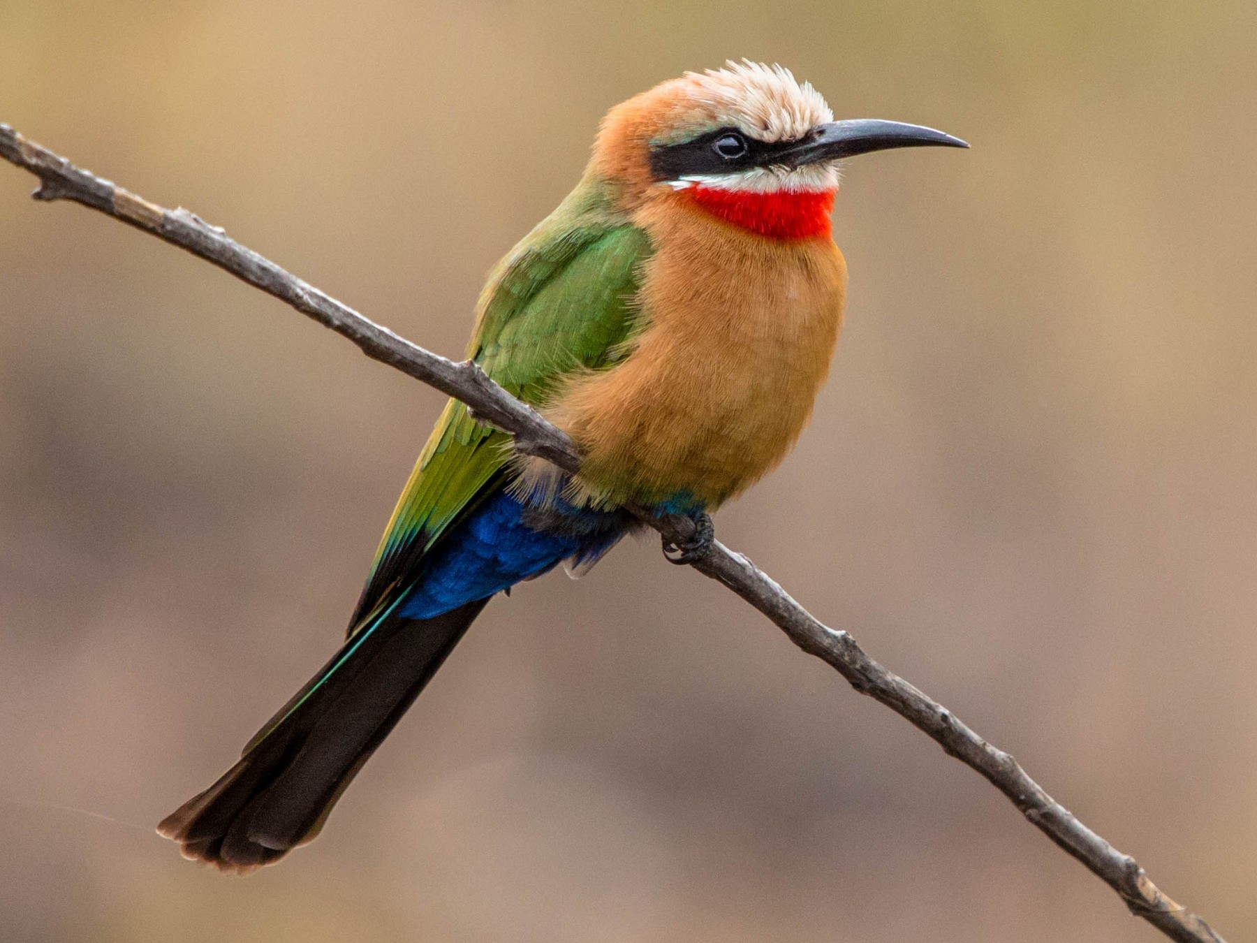 White-fronted Bee-eater - Kevin Vande Vusse