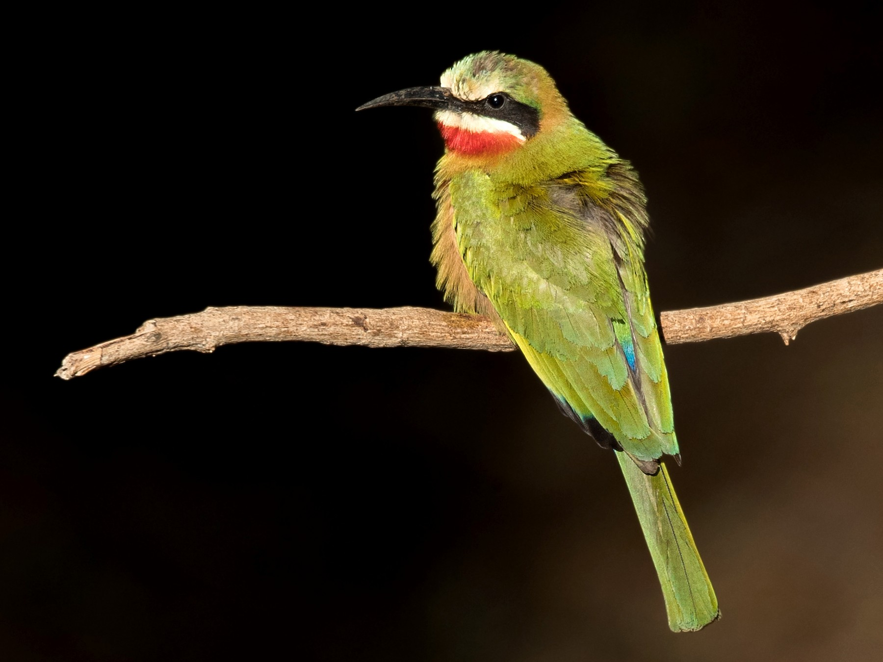 White-fronted Bee-eater - David Irving