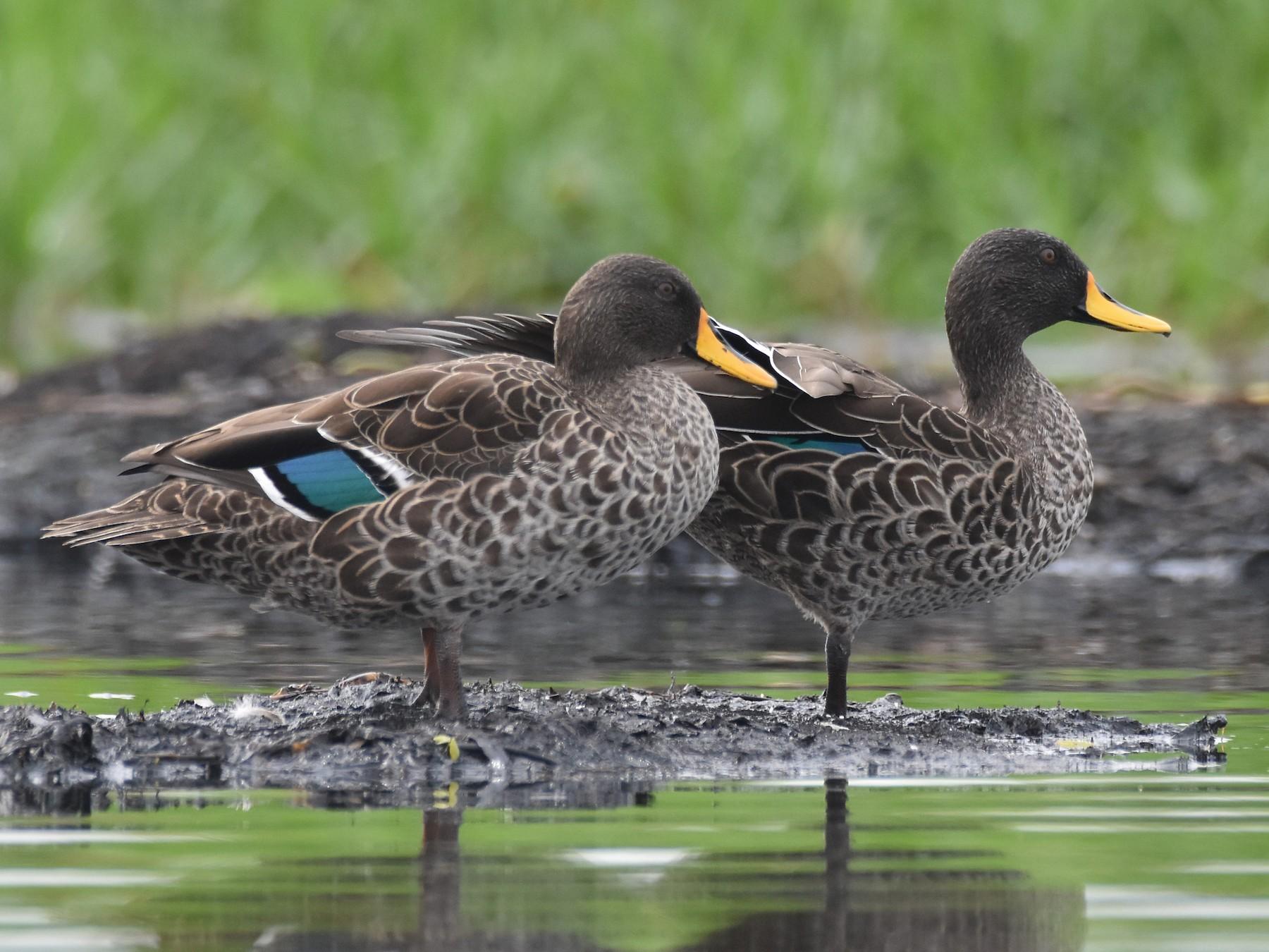 Yellow-billed Duck - Santiago Caballero Carrera
