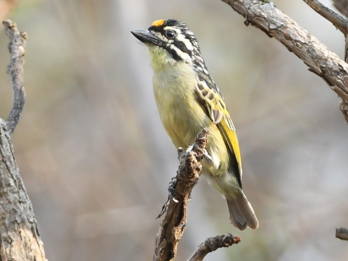 Yellow-fronted Tinkerbird - Vlad Sladariu