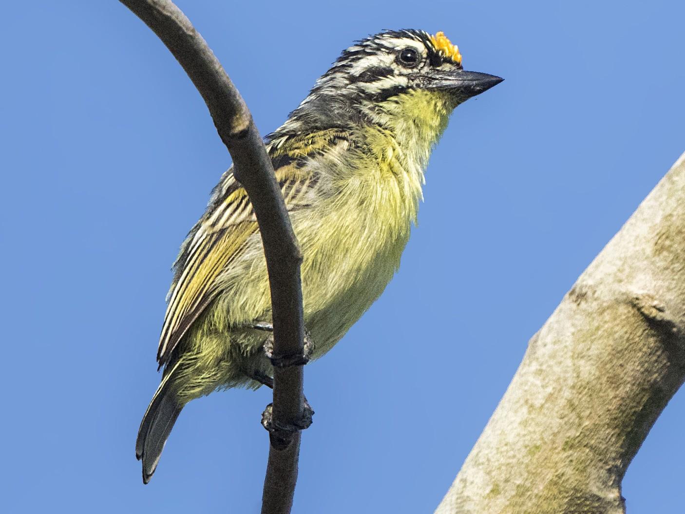 Yellow-fronted Tinkerbird - Bradley Hacker