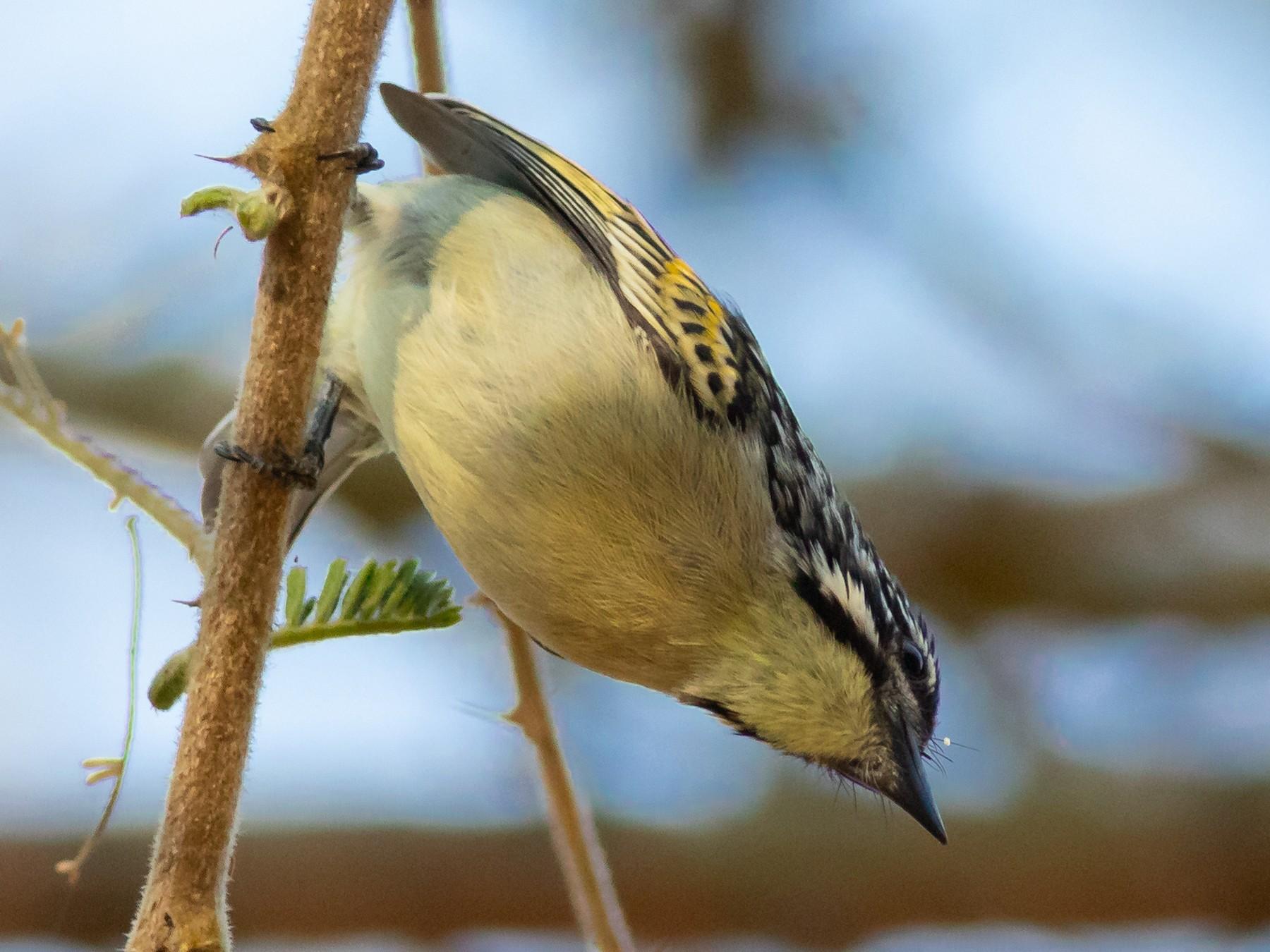 Yellow-fronted Tinkerbird - Oliver Burton