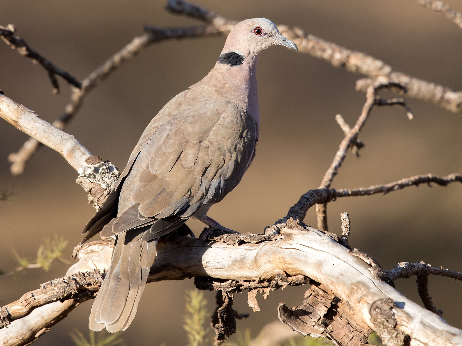 Red-eyed Dove - David Irving