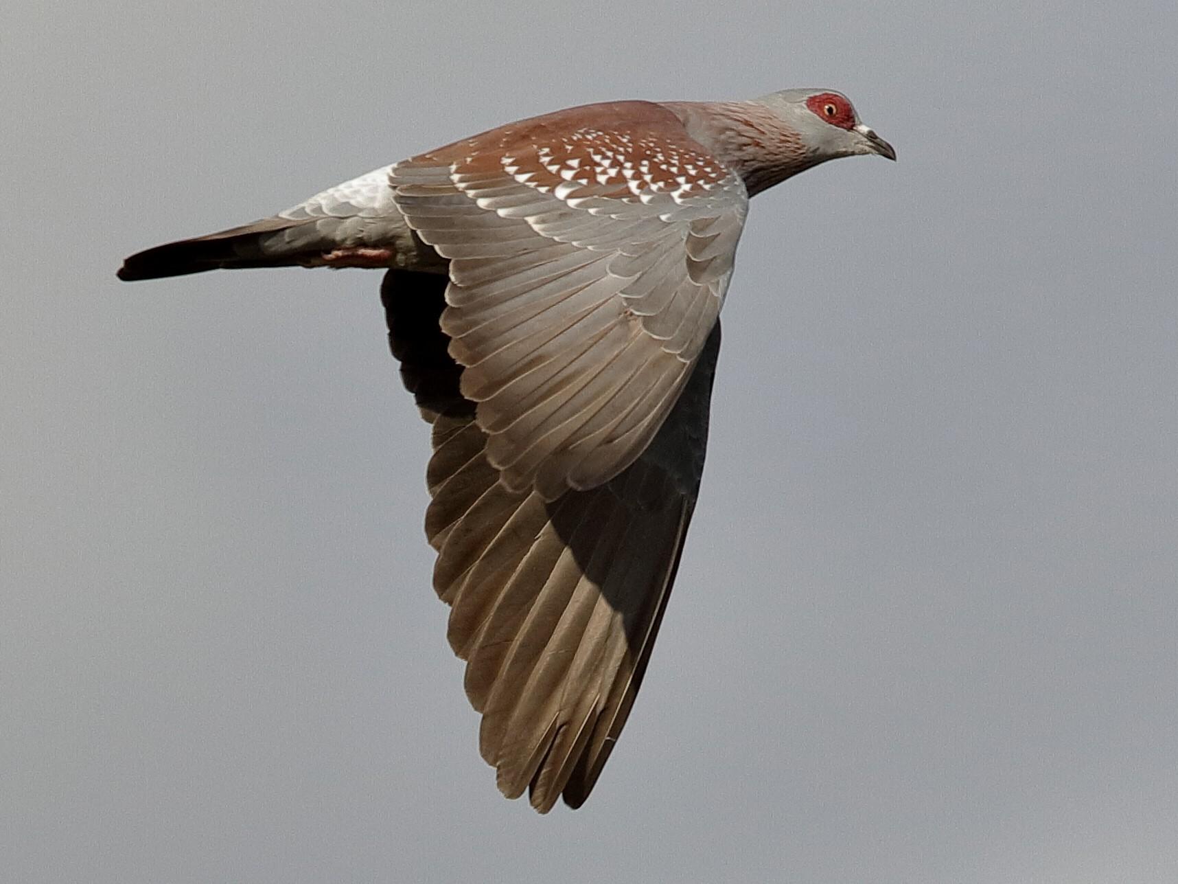 Speckled Pigeon - Holger Teichmann