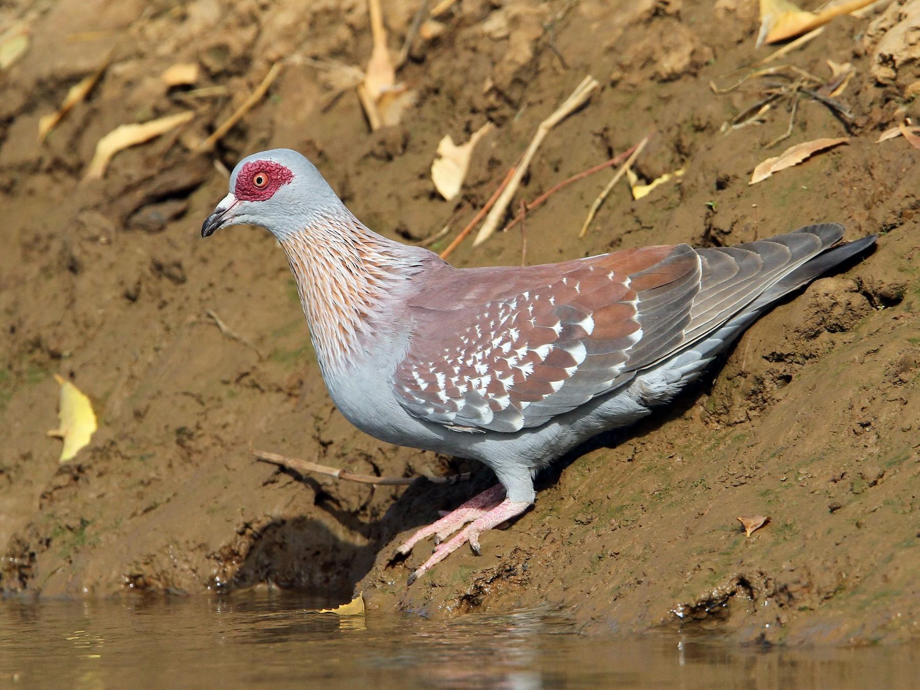 Speckled Pigeon - Christoph Moning