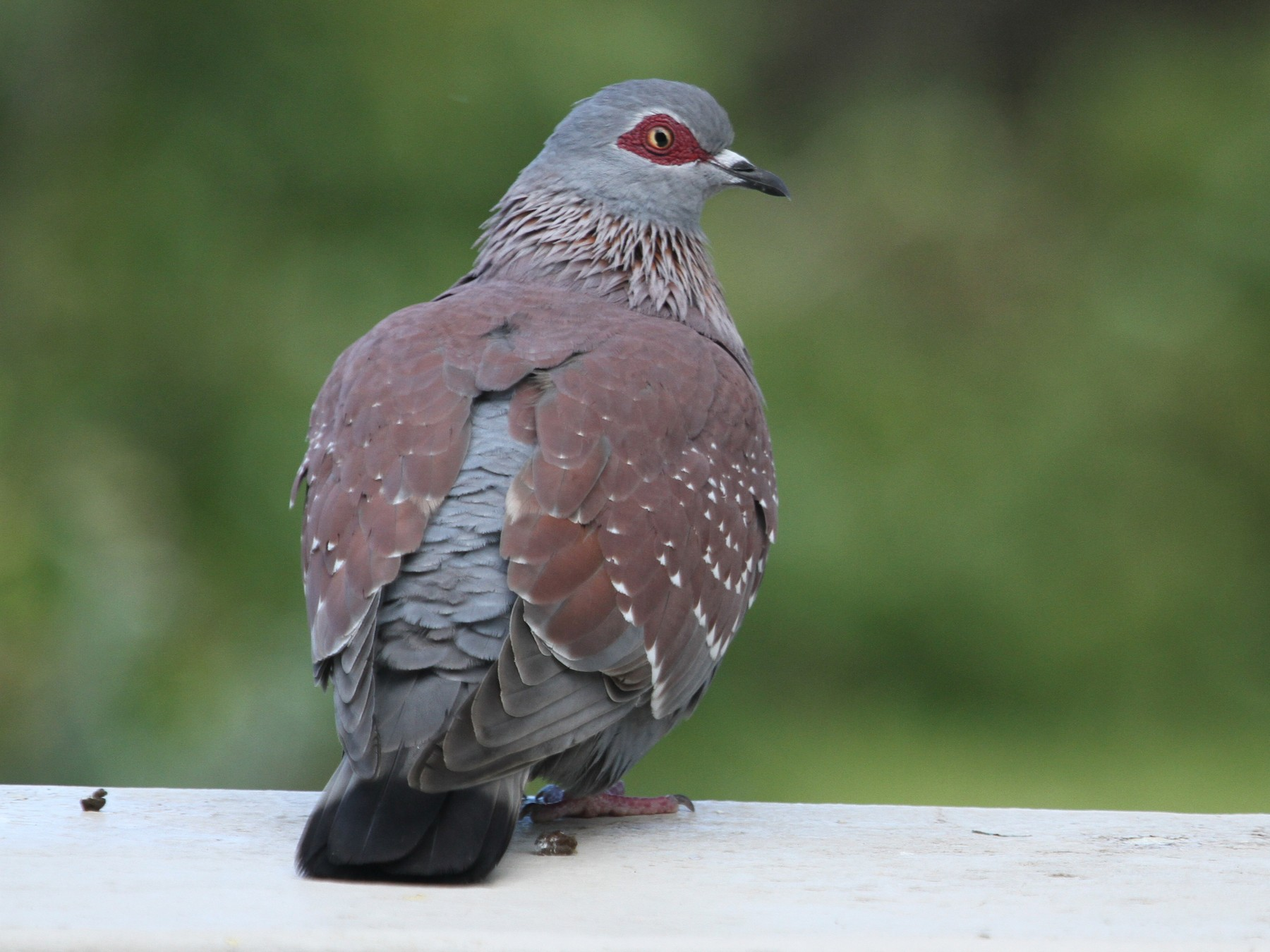 Speckled Pigeon - Will Sweet
