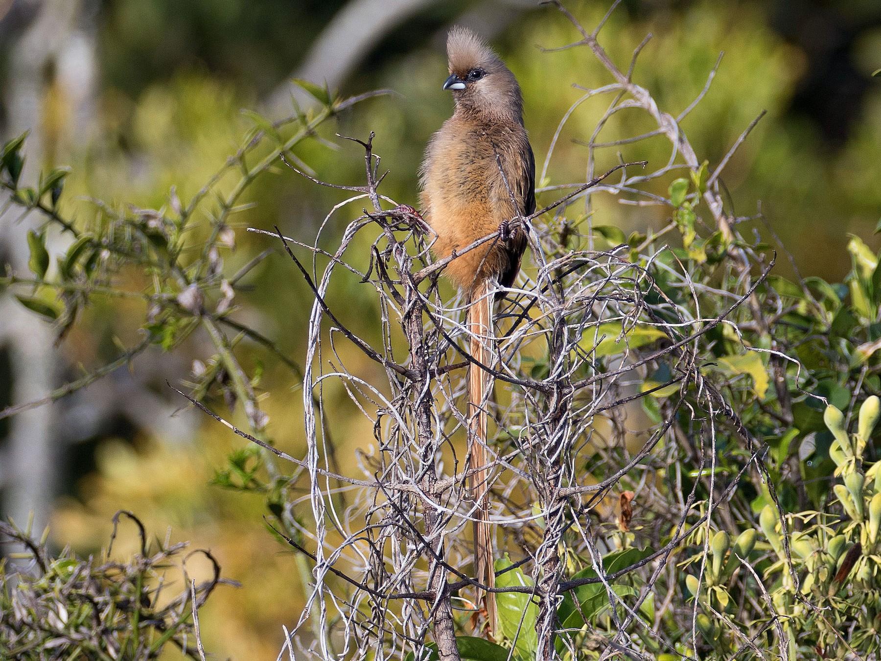 Speckled Mousebird - Kathleen Keef