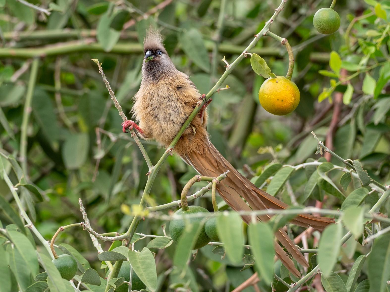 Speckled Mousebird - Forest Jarvis