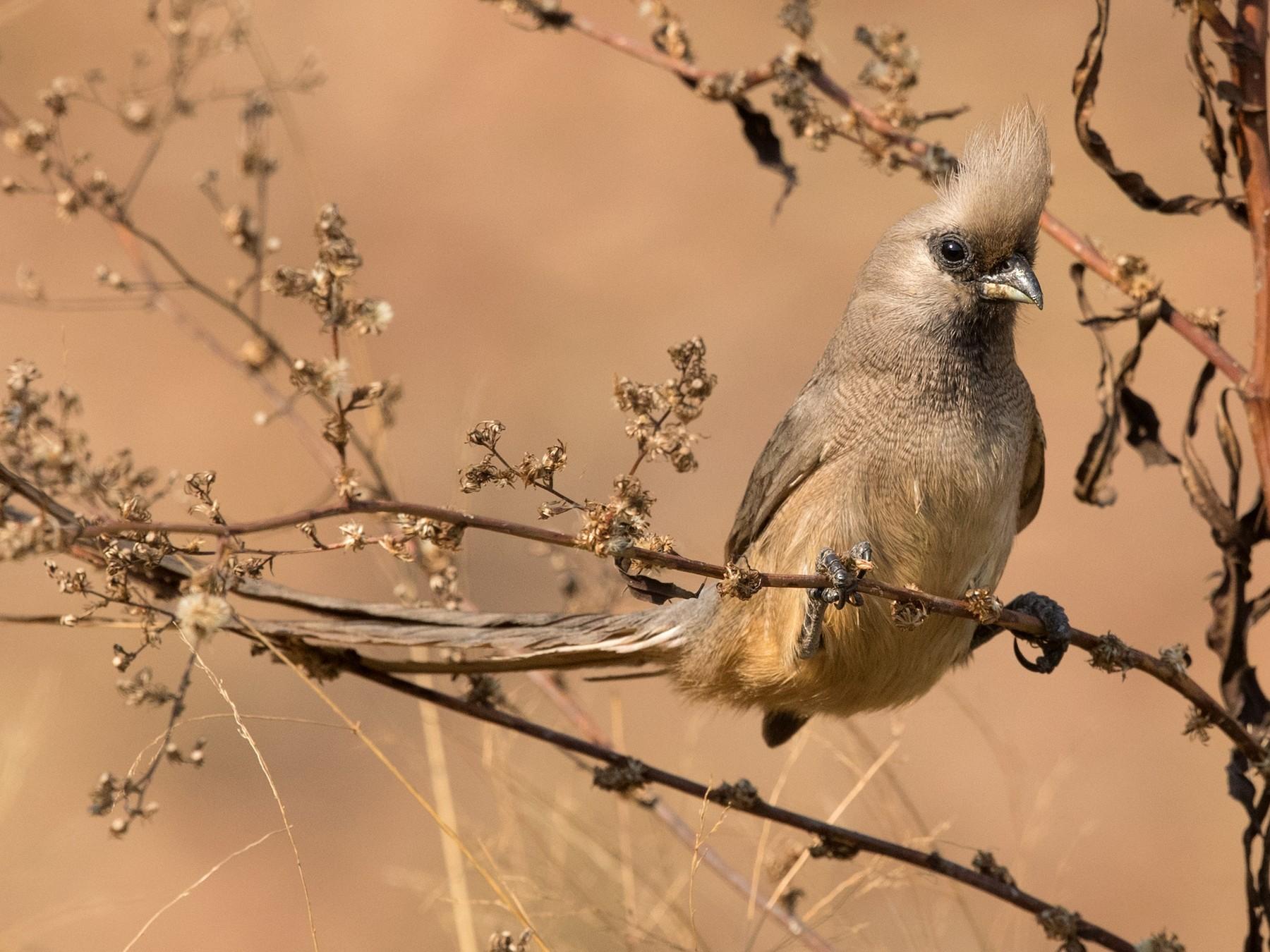 Speckled Mousebird - David Irving