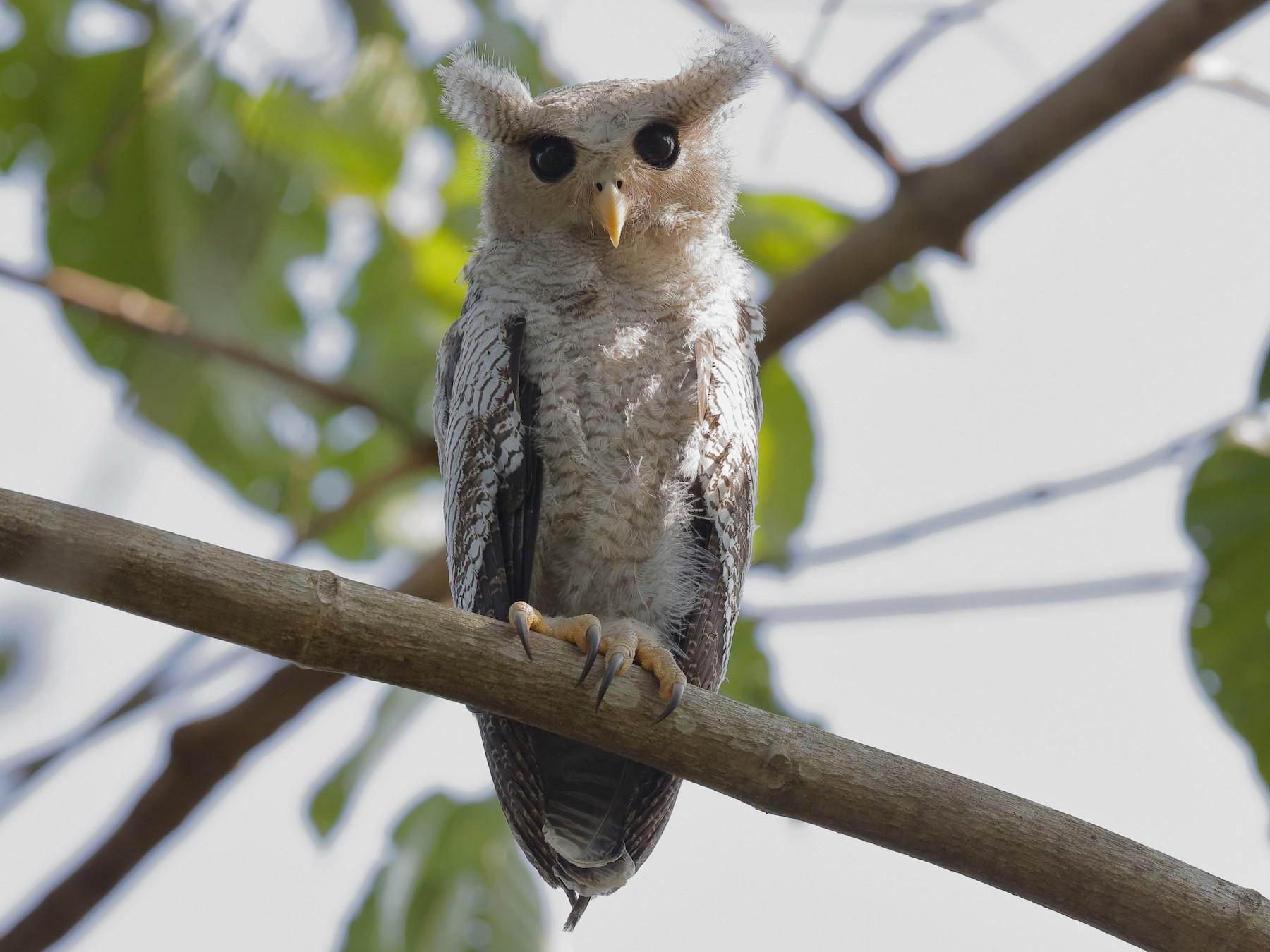 Barred Eagle-Owl - Holger Teichmann