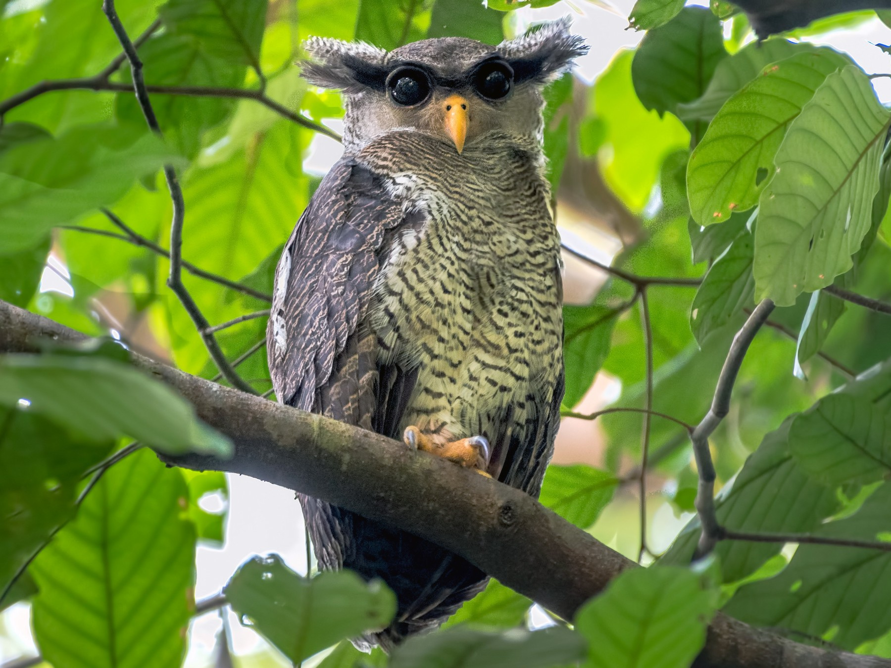 Barred Eagle-Owl - Hong Yao Lim