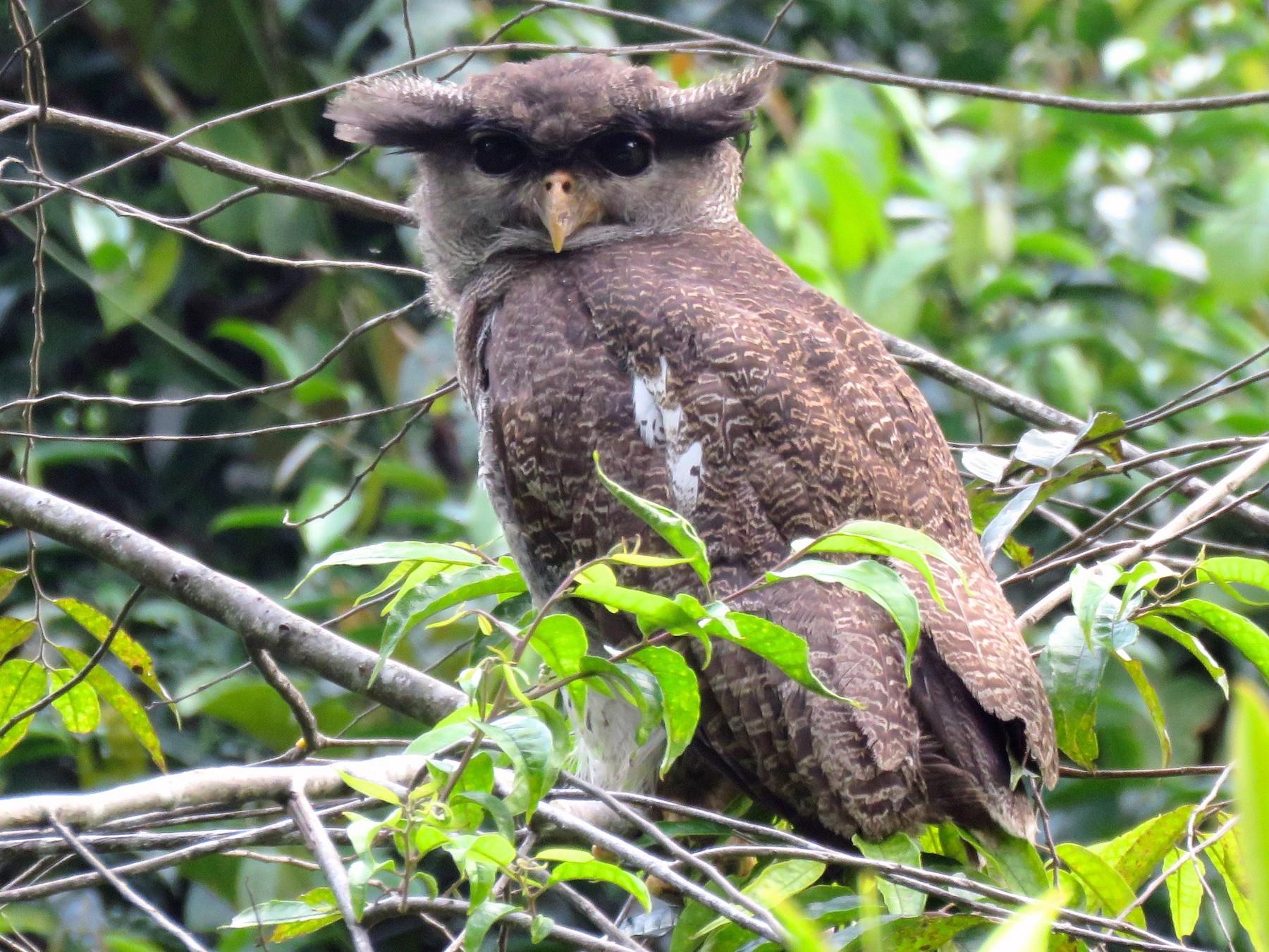 Barred Eagle-Owl - Timothy Forrester