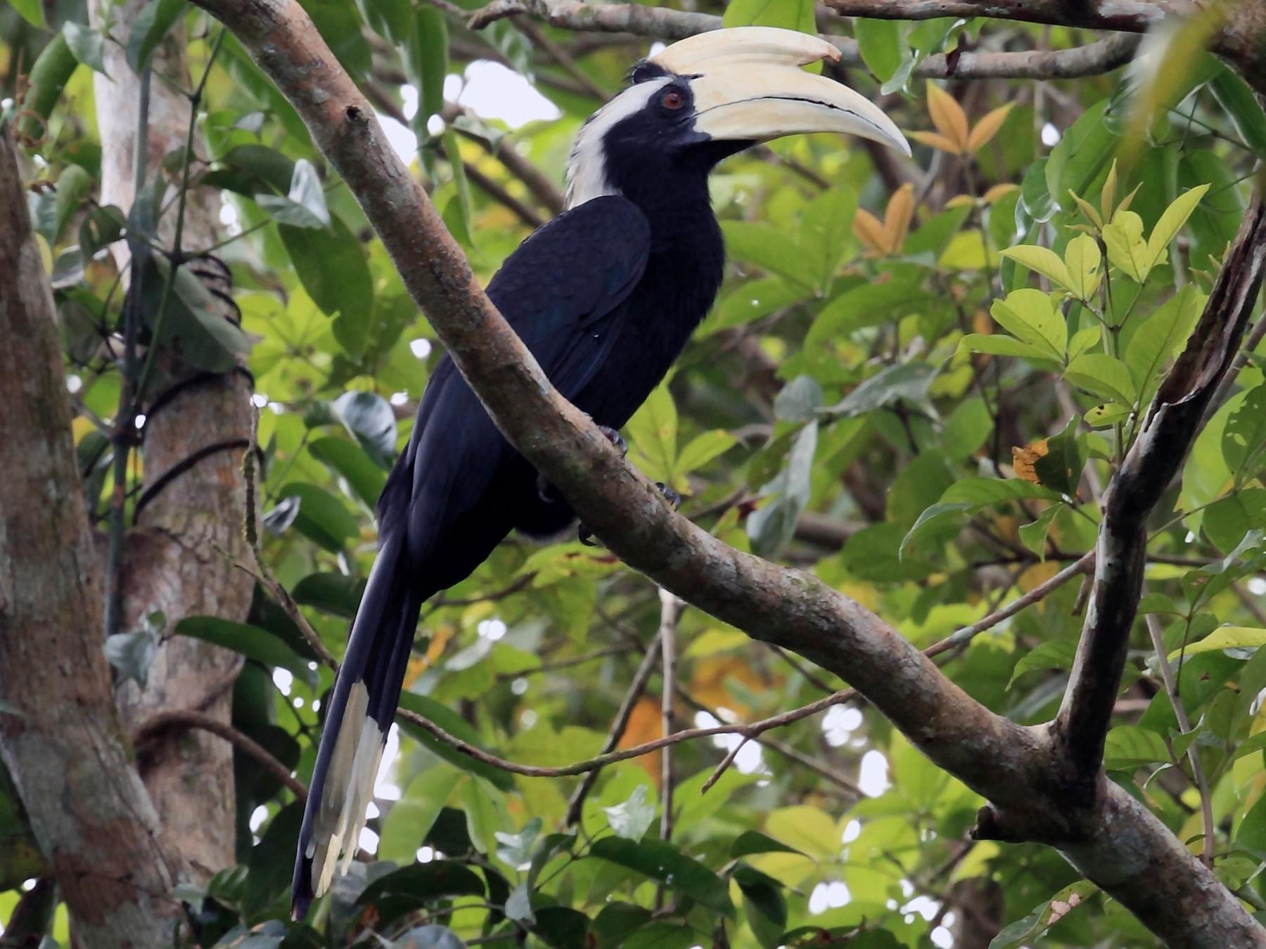 Black Hornbill - Nigel Voaden