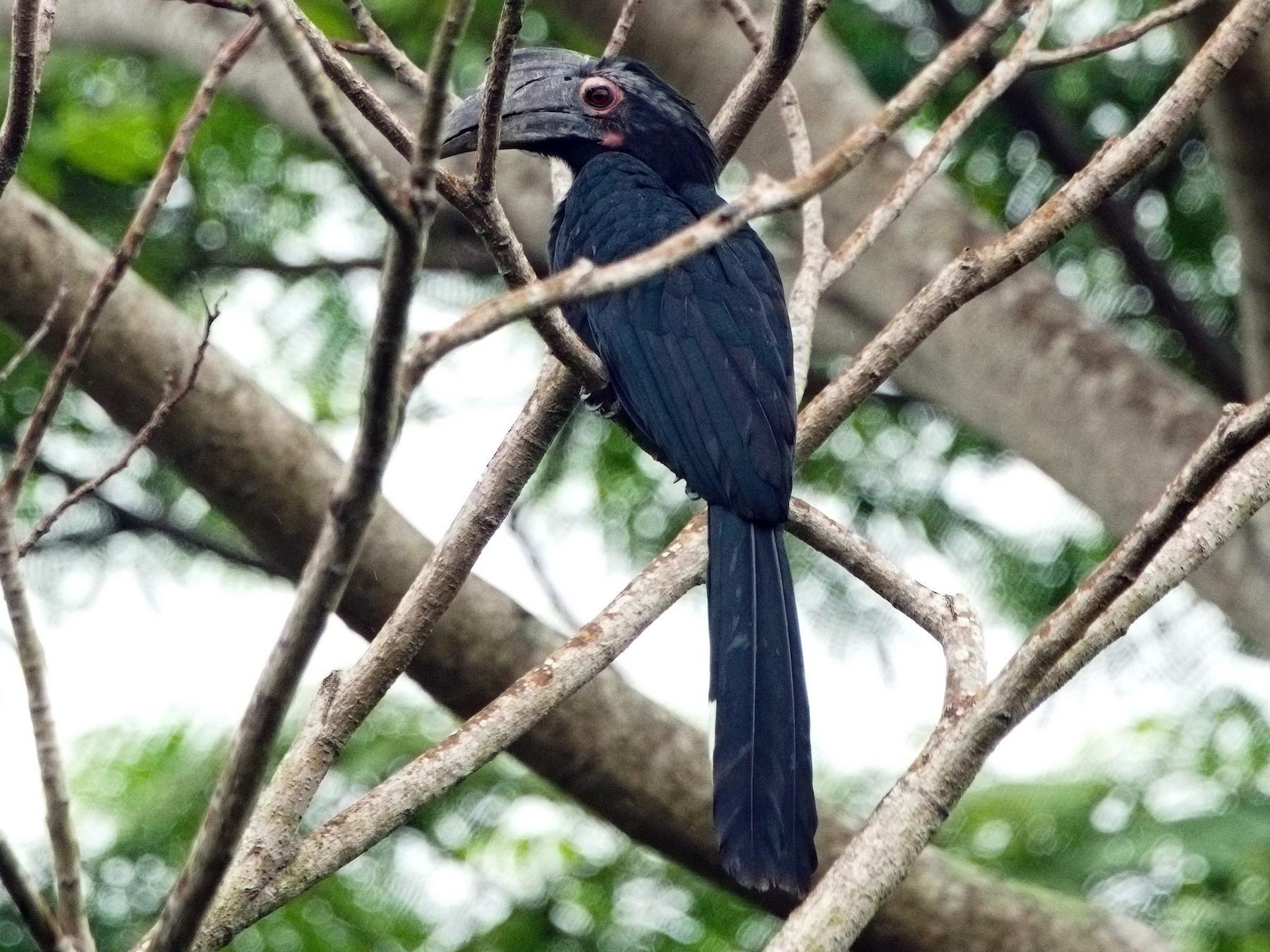 Black Hornbill - Kian Guan Tay