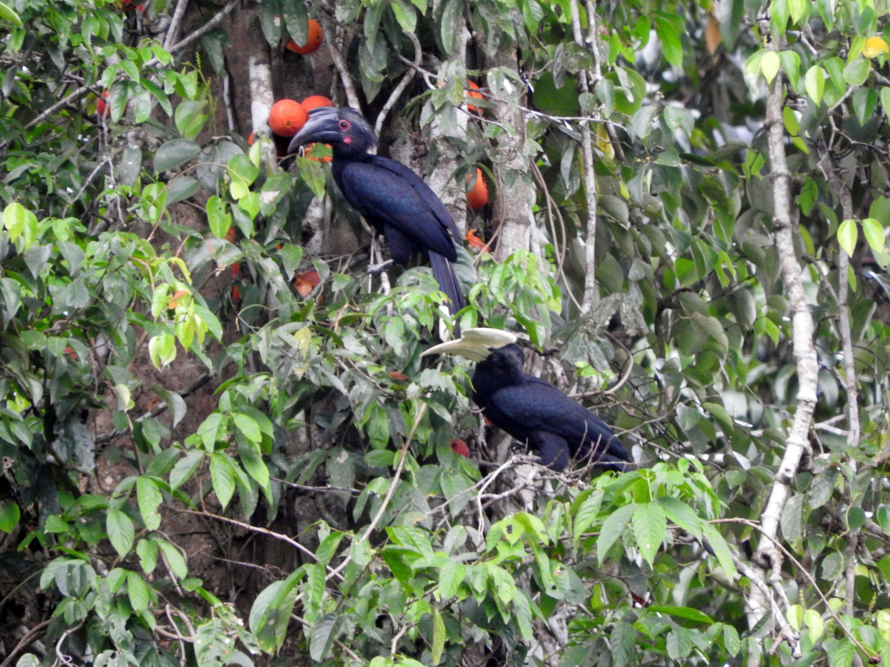 Black Hornbill - Chris Burwell
