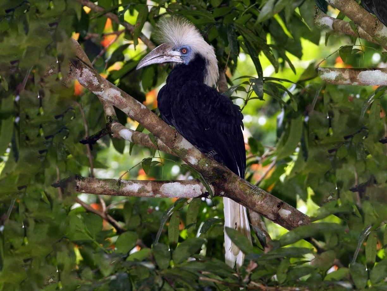 White-crowned Hornbill - Markus Lilje