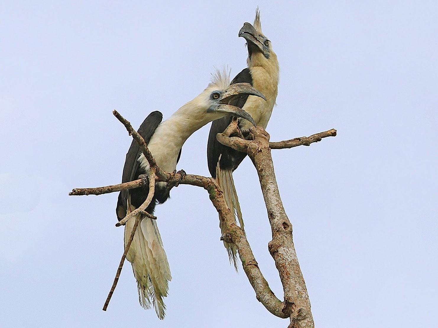 White-crowned Hornbill - James Eaton