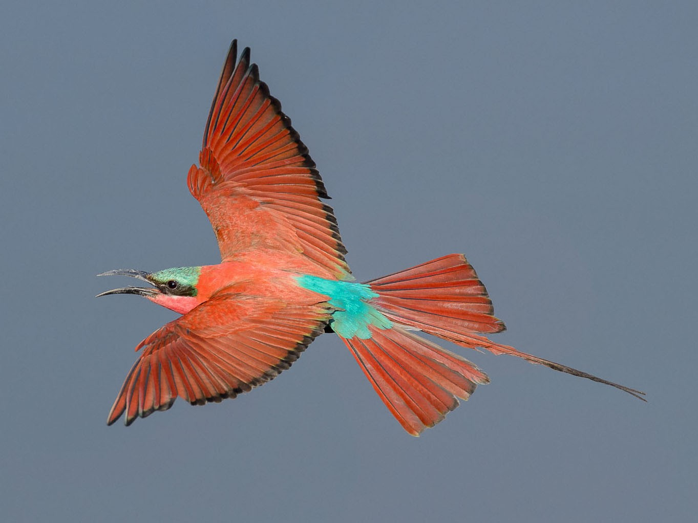 Southern Carmine Bee-eater - Albert Froneman