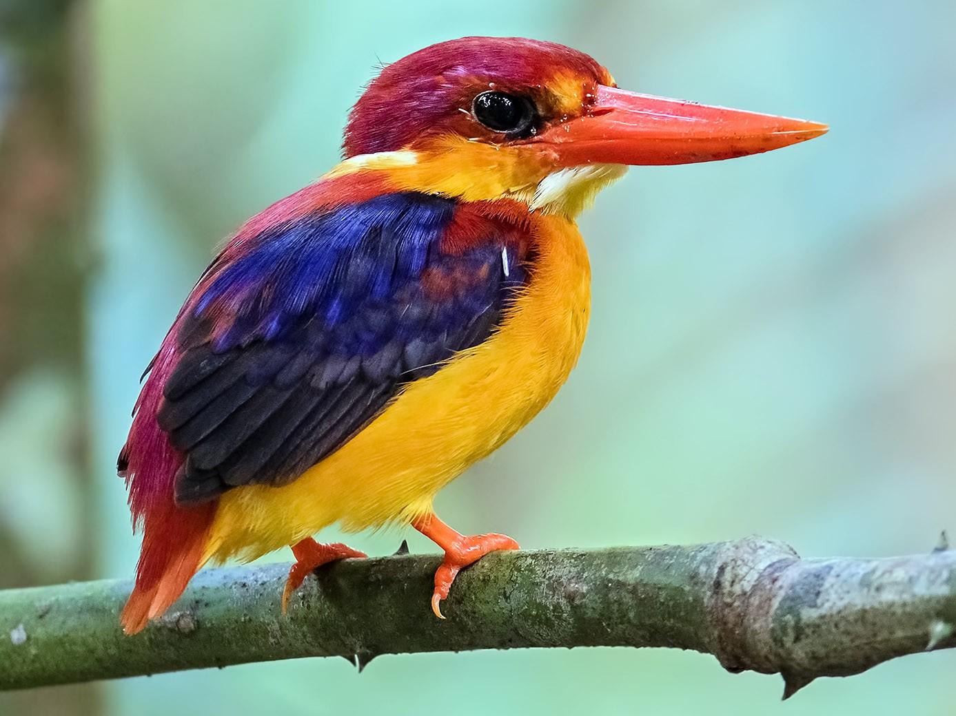 Rufous-backed Dwarf-Kingfisher - Zhong Ying Koay
