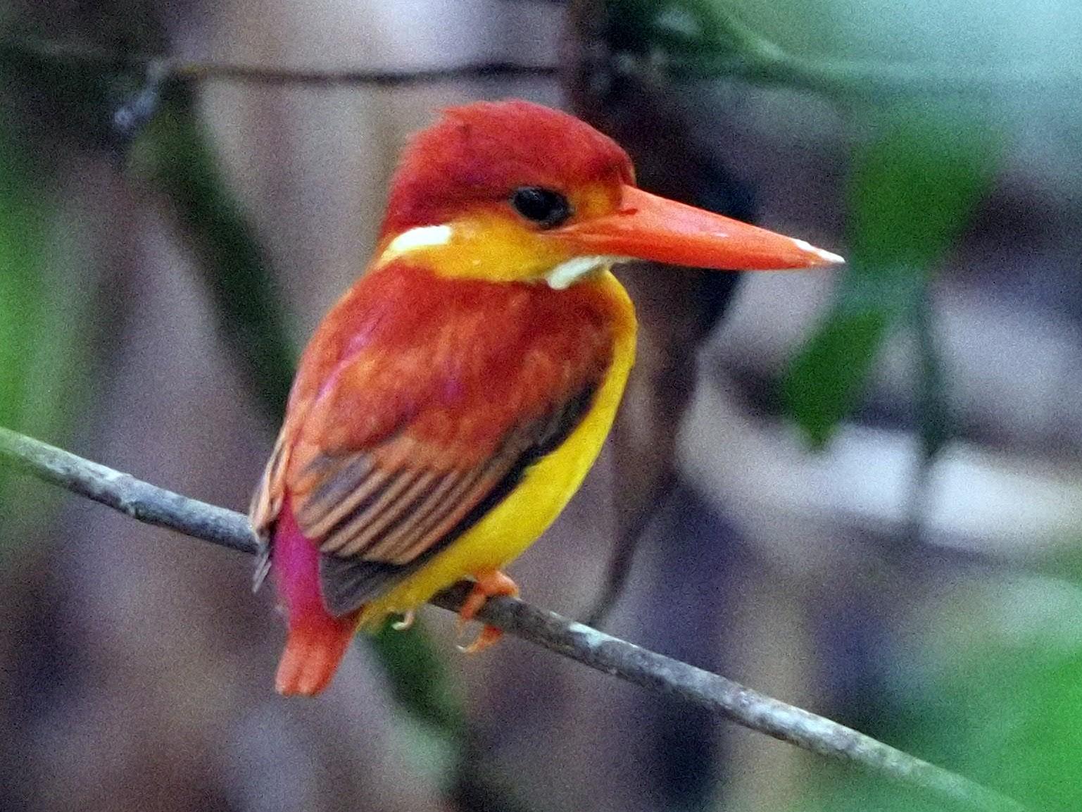 Rufous-backed Dwarf-Kingfisher - Hiew FongOn