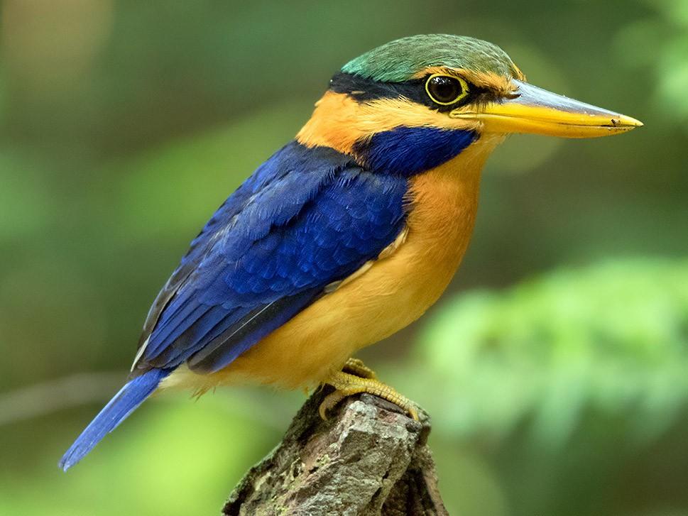 Rufous-collared Kingfisher - Ayuwat Jearwattanakanok
