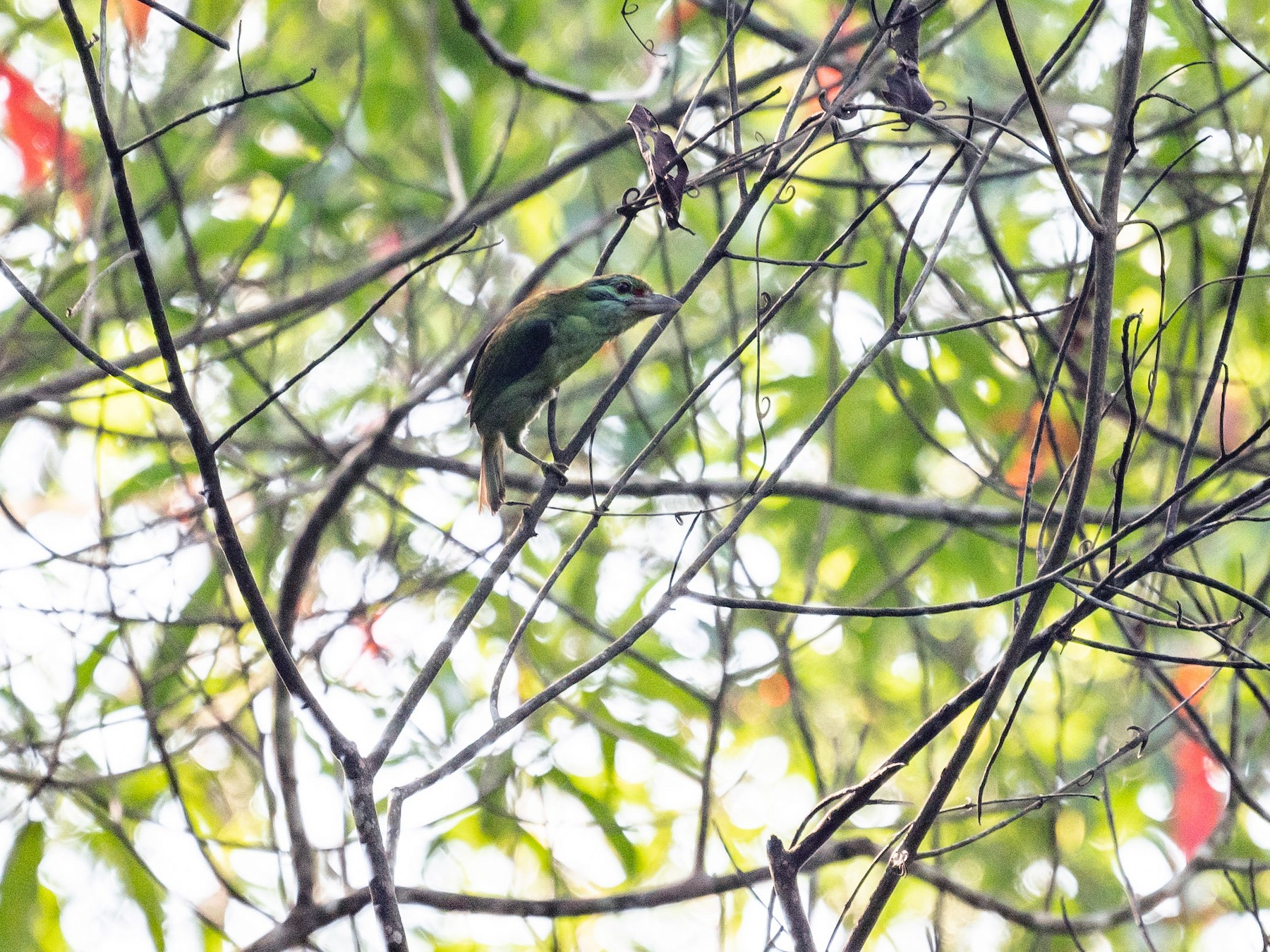 Moustached Barbet - jimmy Yao