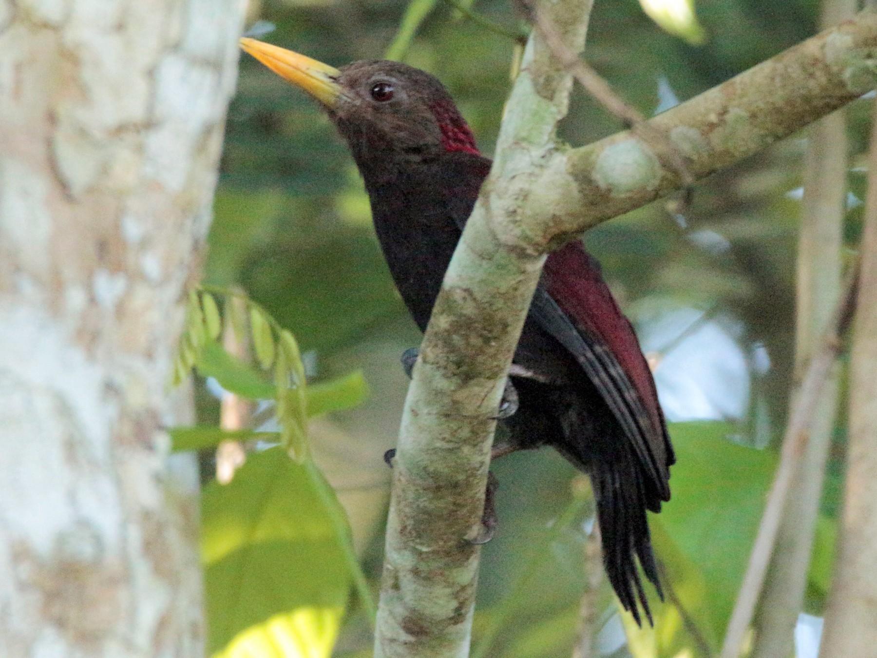 Maroon Woodpecker - Fadzrun A.