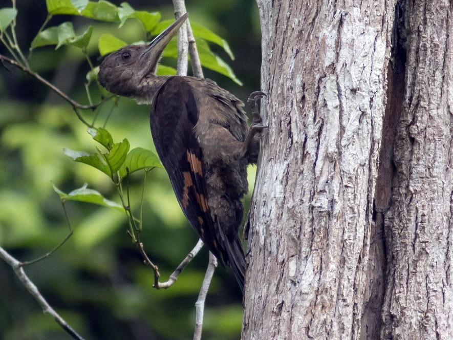 Orange-backed Woodpecker - Michael Todd
