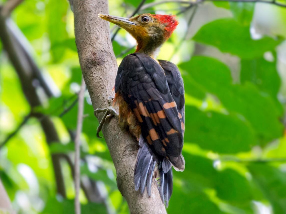 Orange-backed Woodpecker - Jon Lowes
