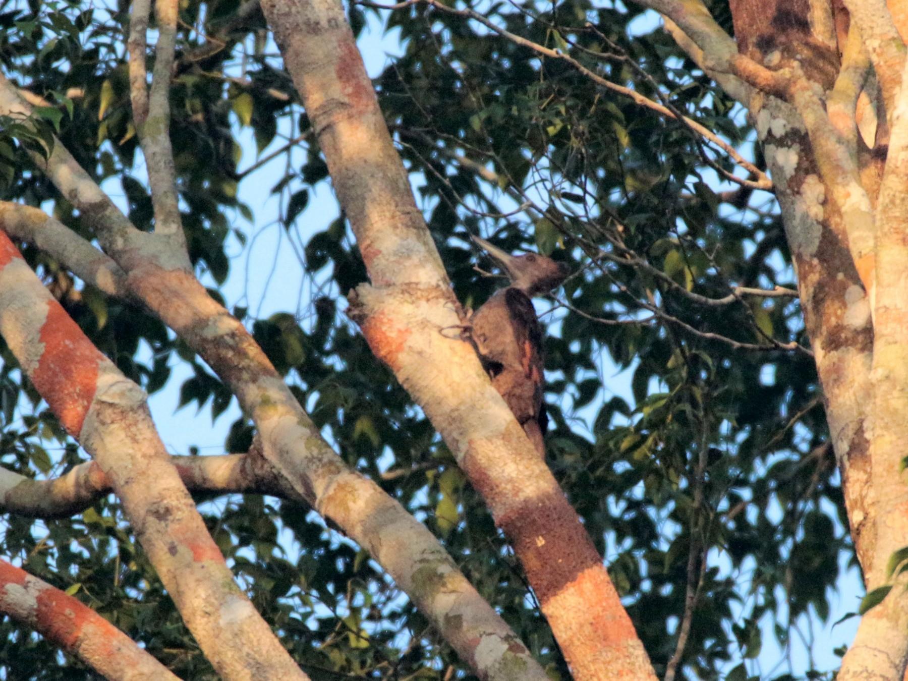 Orange-backed Woodpecker - Fadzrun A.
