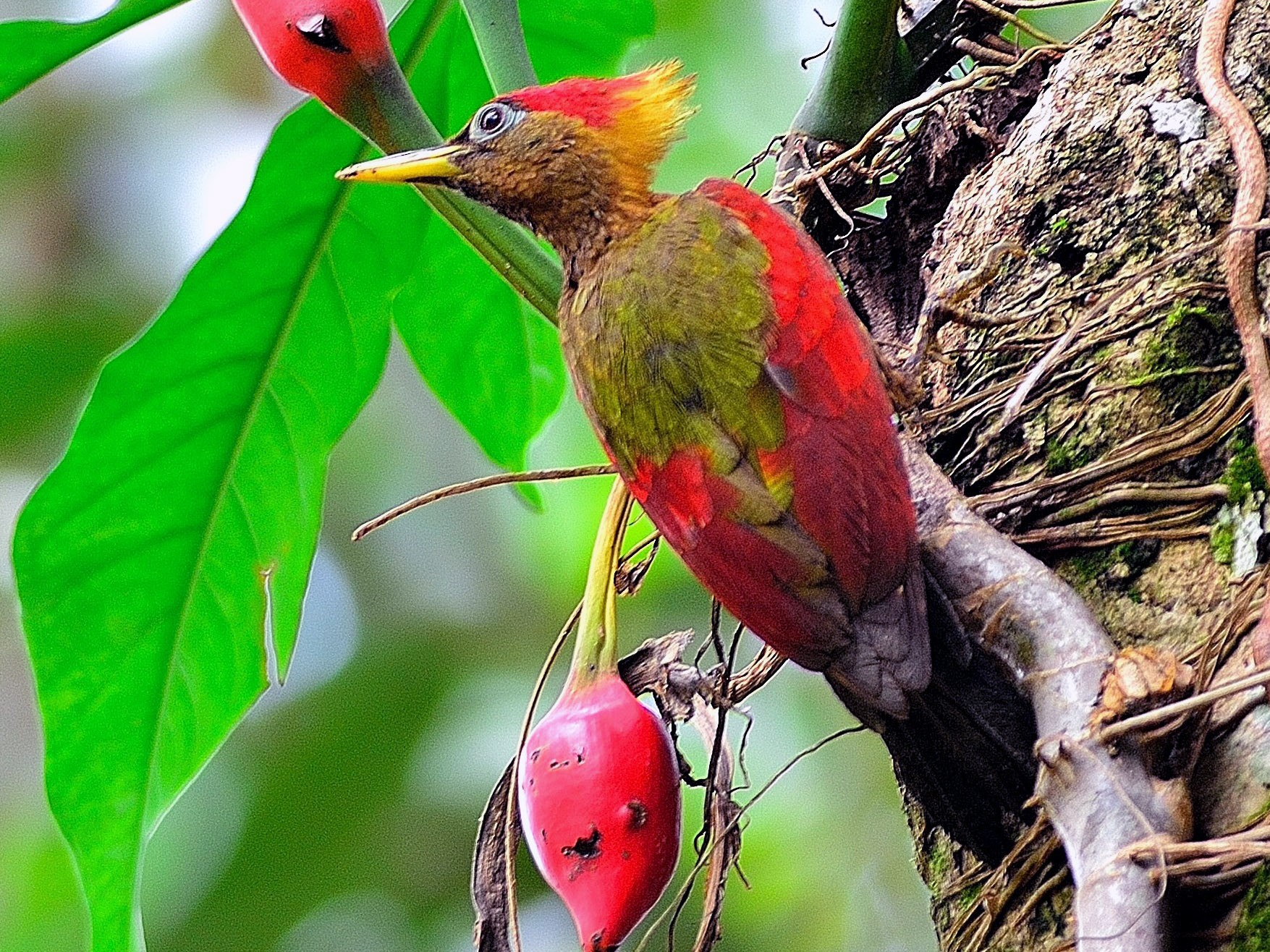 Crimson-winged Woodpecker - Wbird Tsai