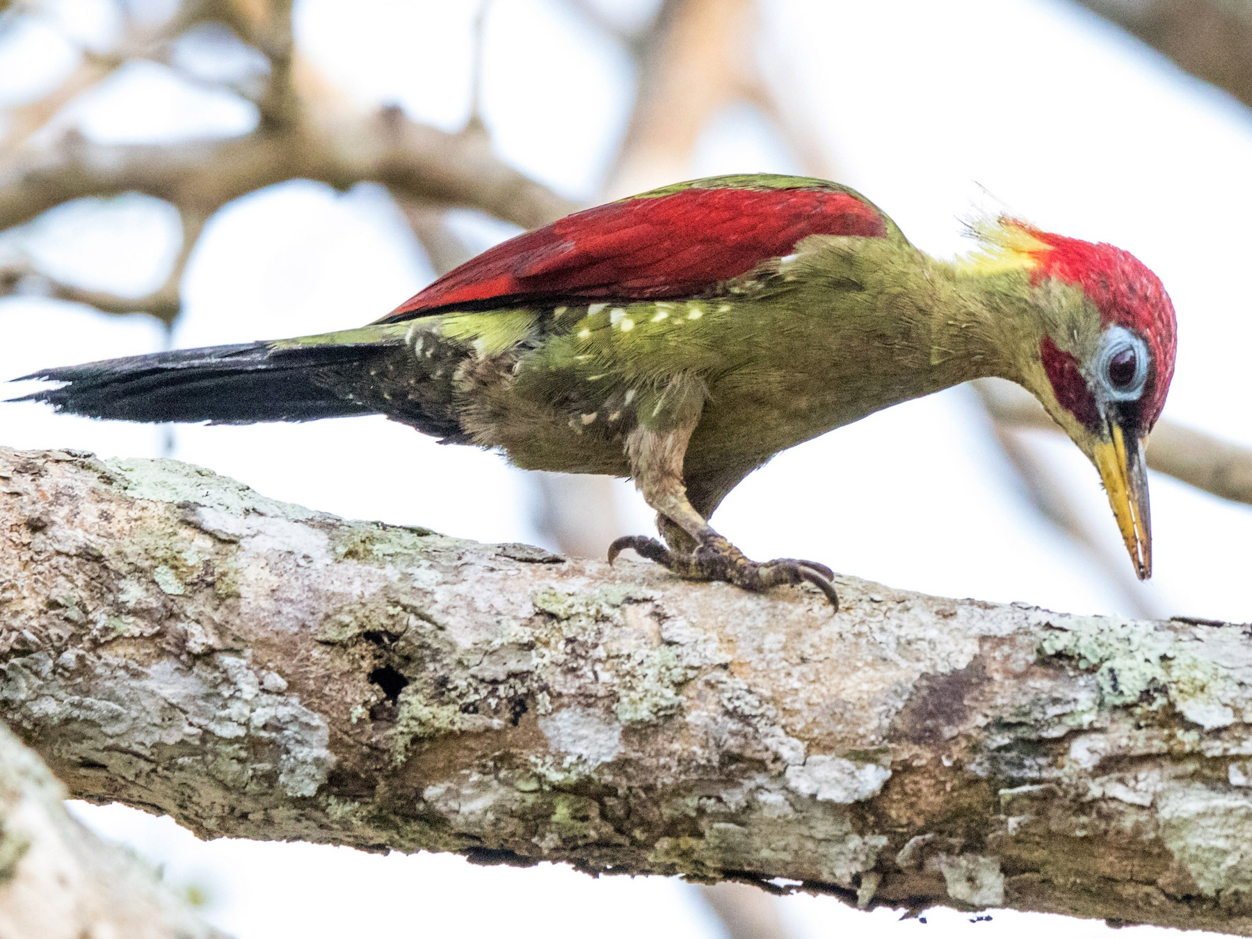 Crimson-winged Woodpecker - Peter  Steward