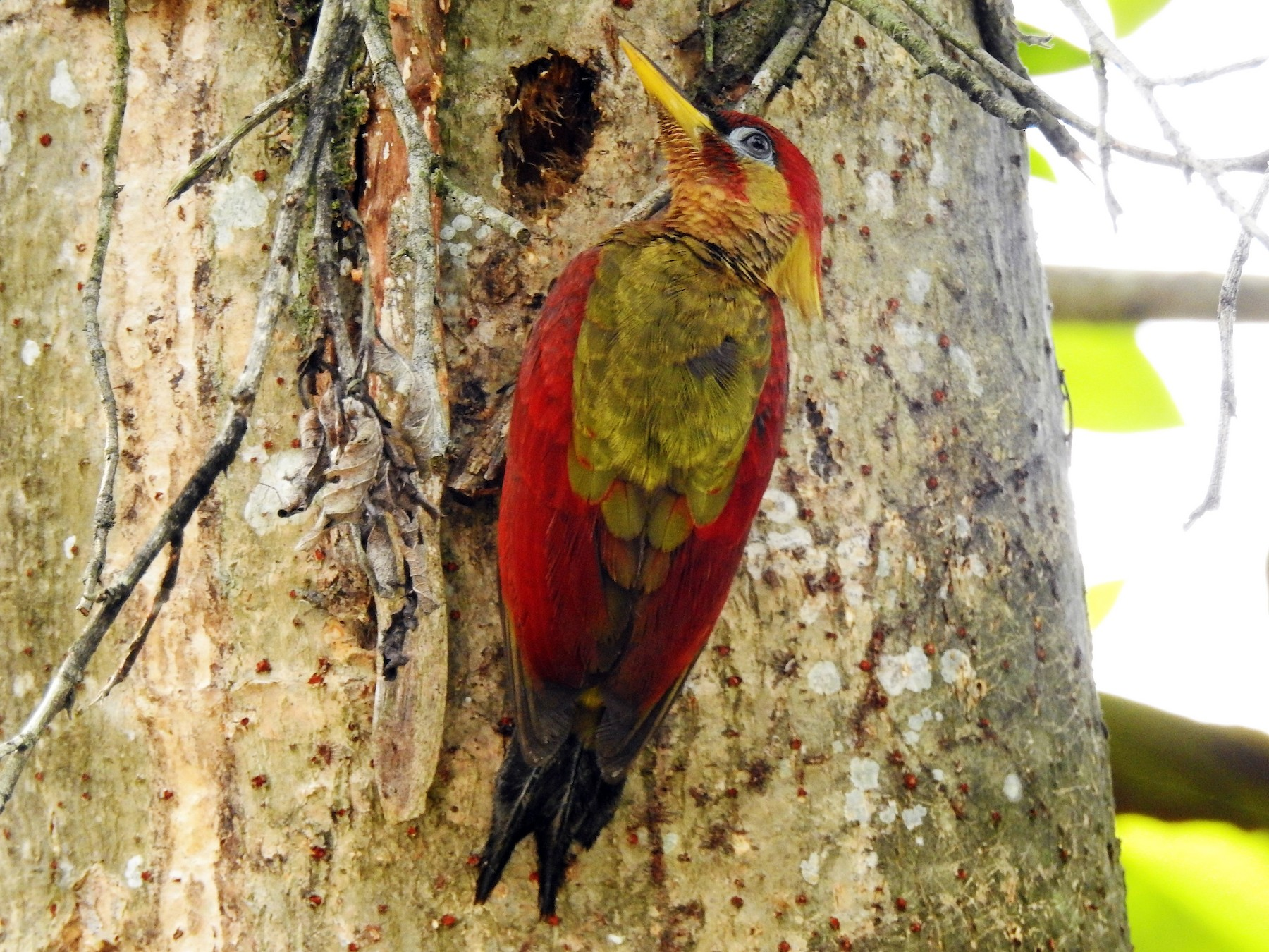 Crimson-winged Woodpecker - Tuck Hong Tang