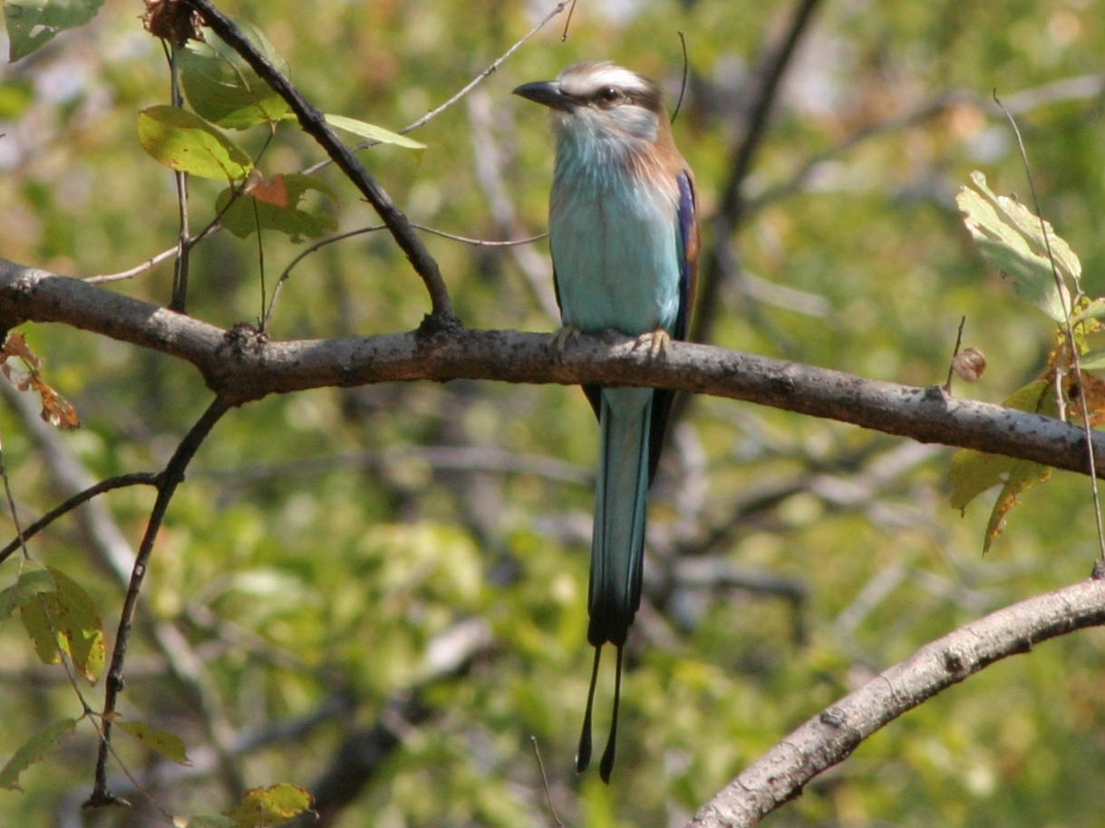 Racket-tailed Roller - Nige Hartley