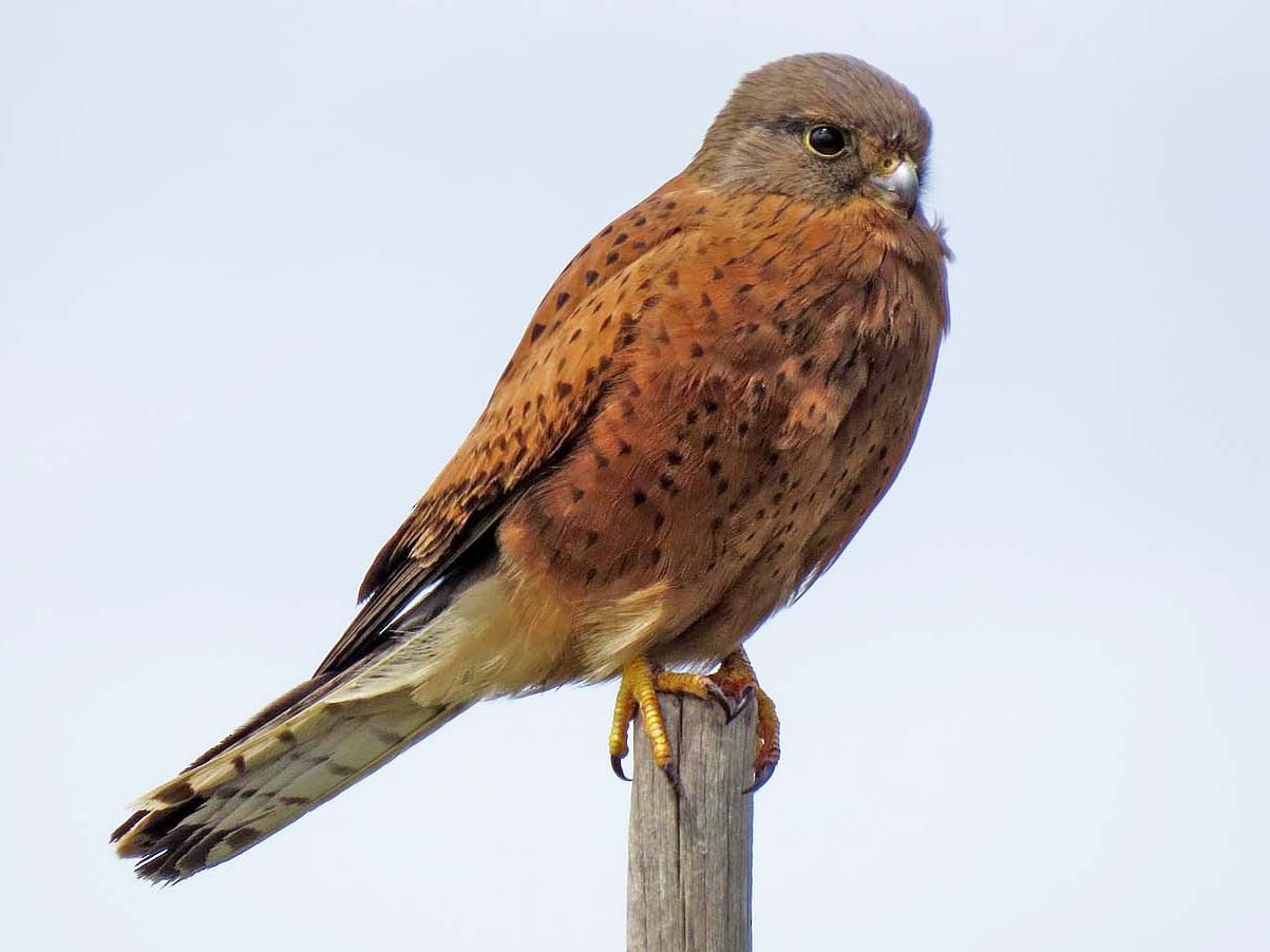 Rock Kestrel - Peter Boesman