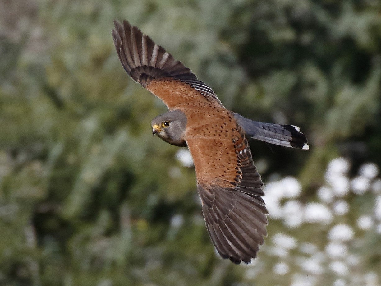 Rock Kestrel - Dave Curtis