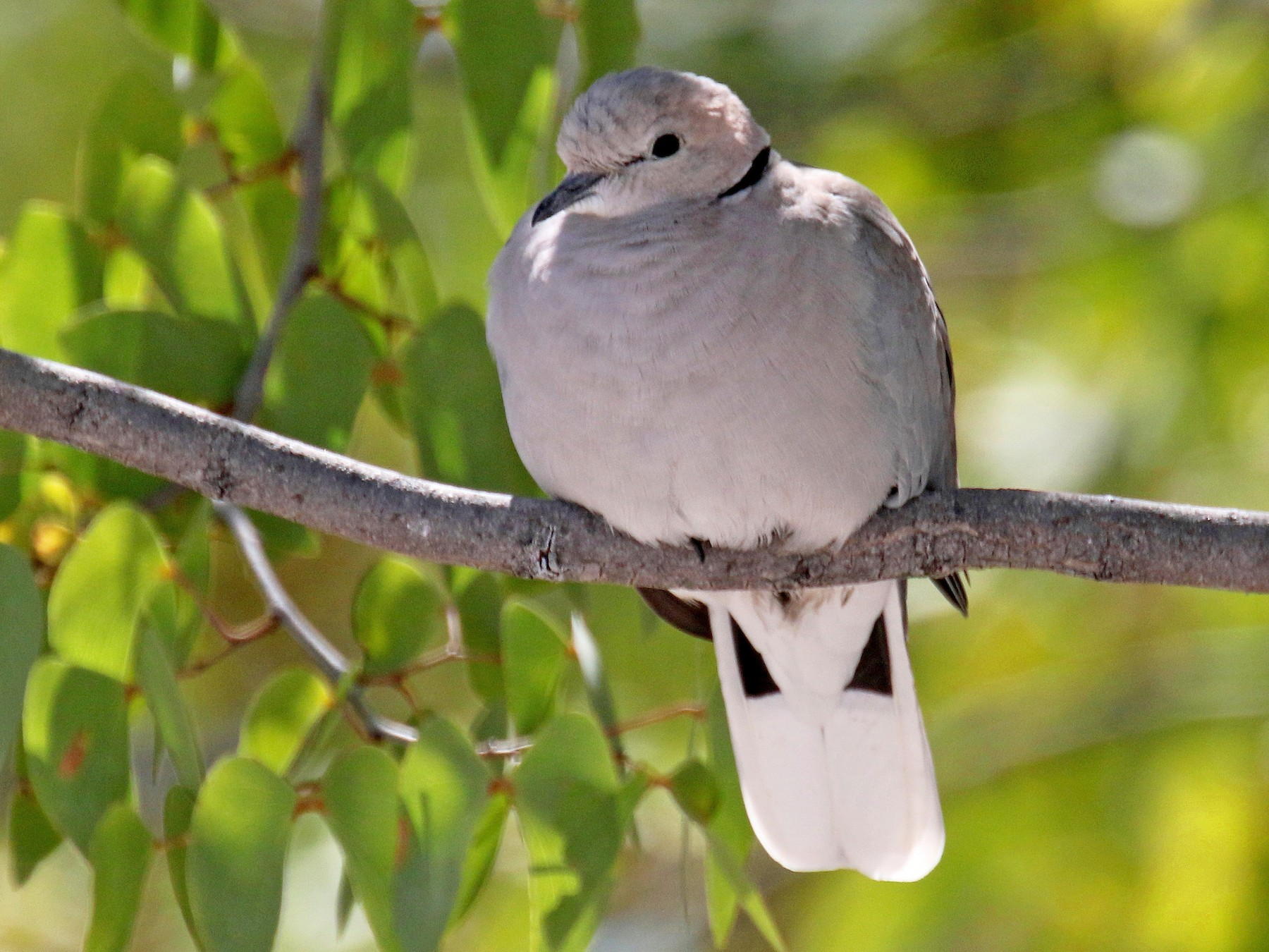 Ring-necked Dove - Stephen Gast