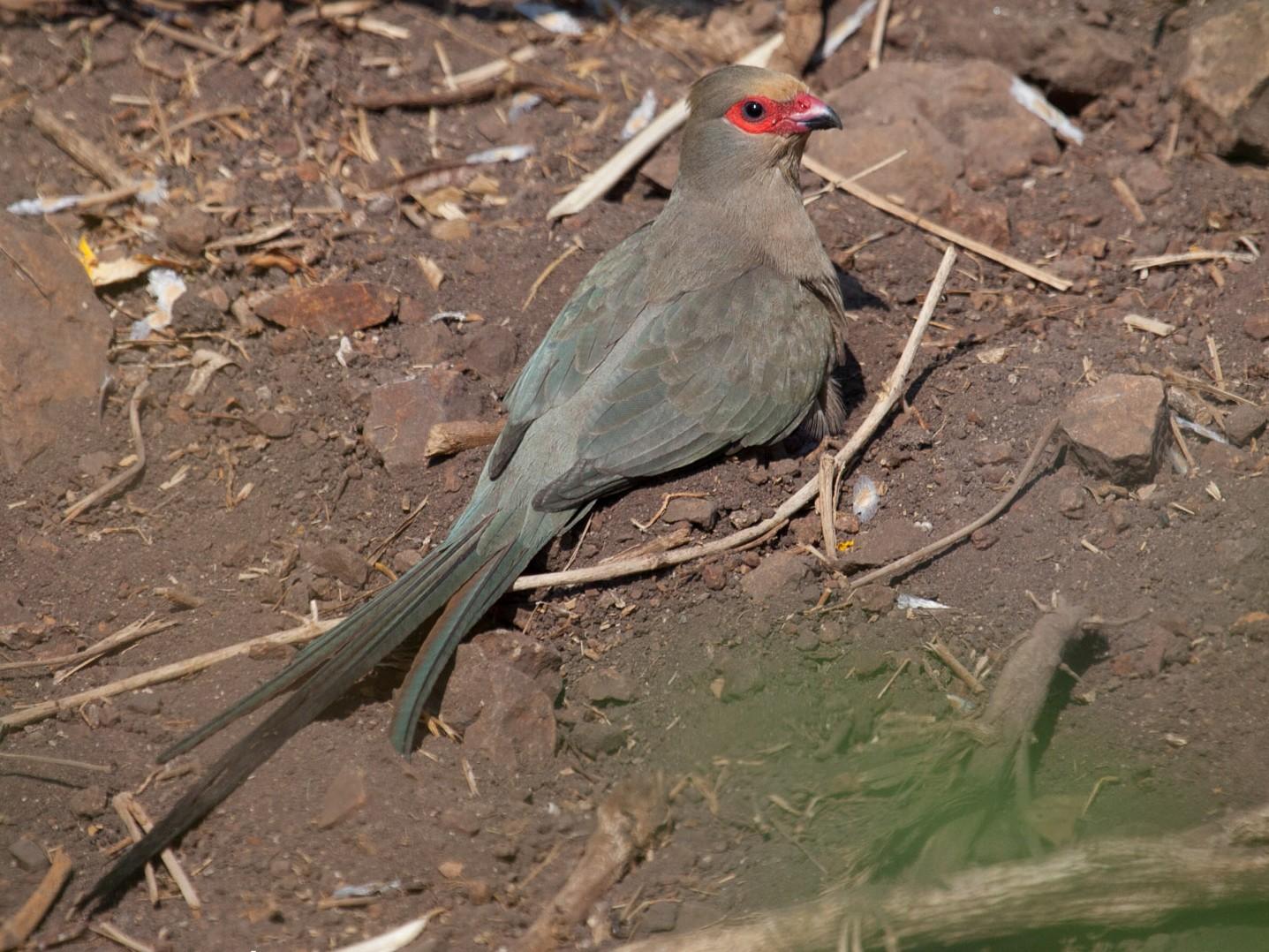 Red-faced Mousebird - Lutz Duerselen