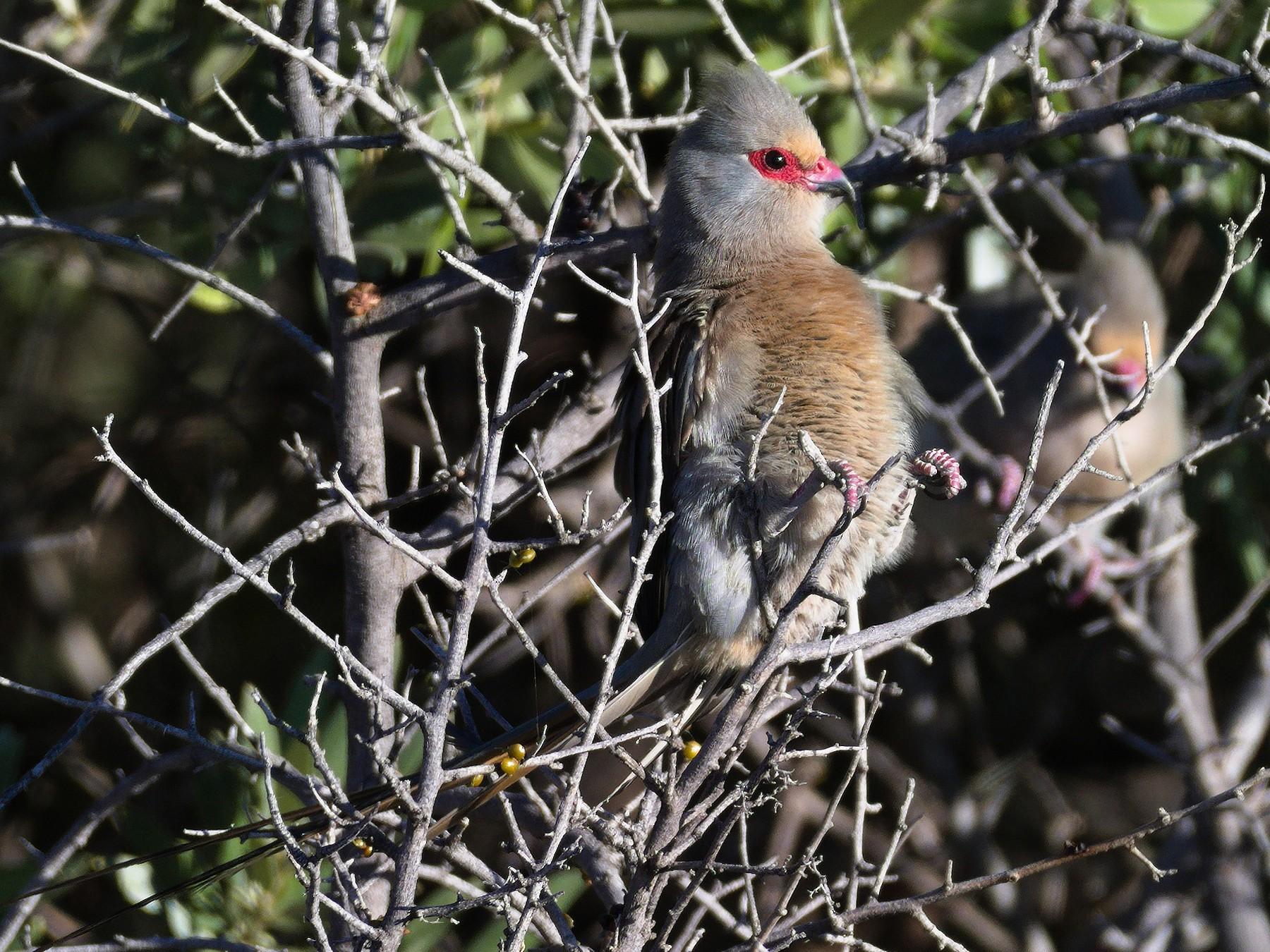 Red-faced Mousebird - Richard Gray