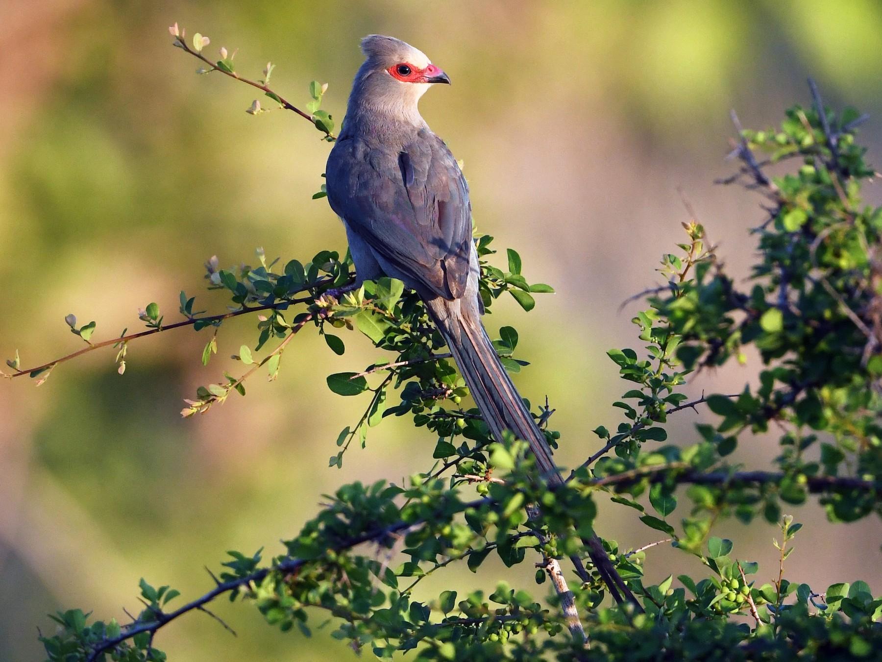 Red-faced Mousebird - Maryse Neukomm
