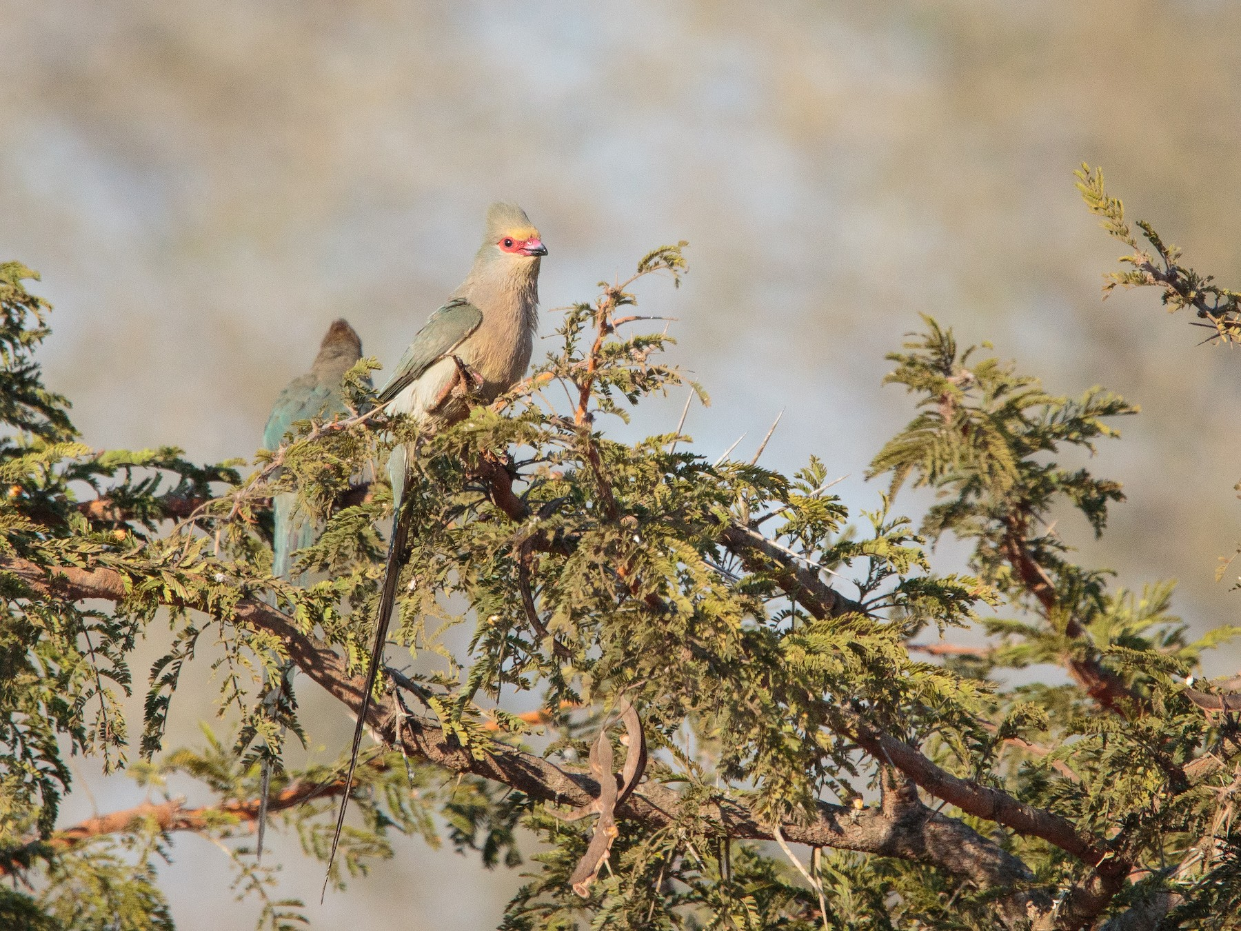 Red-faced Mousebird - Alistair Walsh