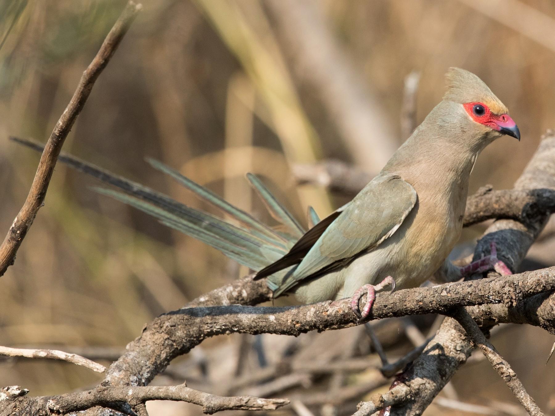 Red-faced Mousebird - David Irving