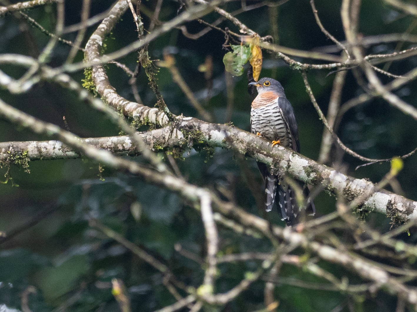 Red-chested Cuckoo - Forest Jarvis