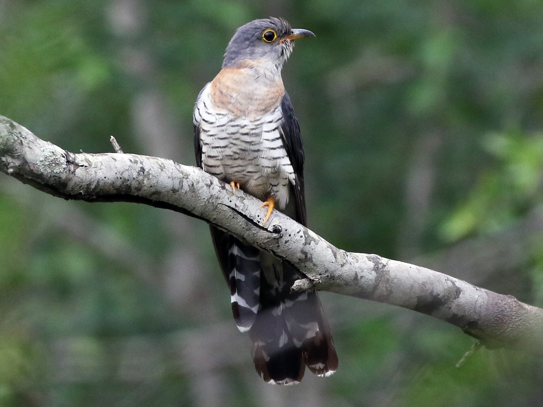Red-chested Cuckoo - Dean LaTray