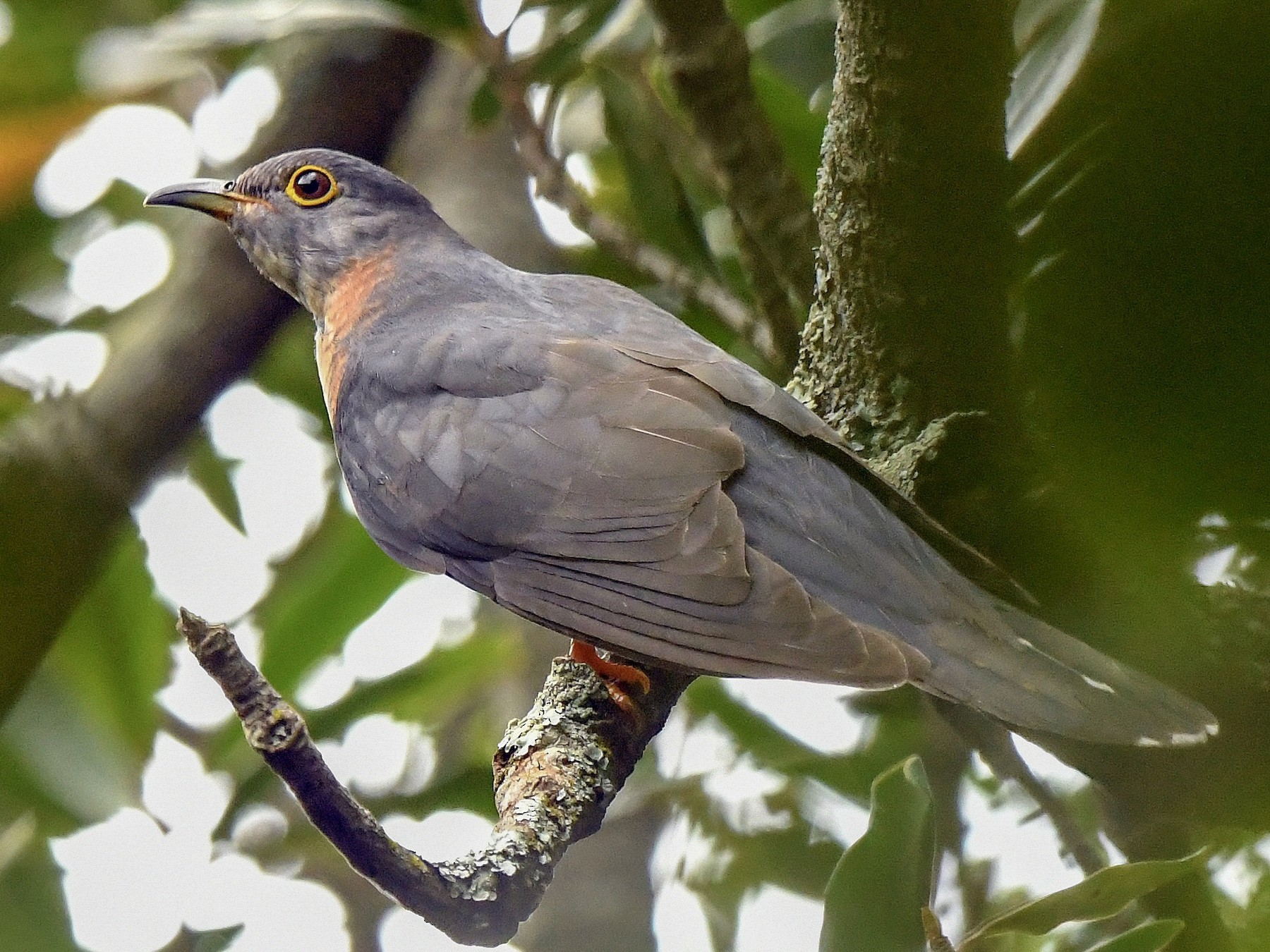 Red-chested Cuckoo - Jesse Anderson